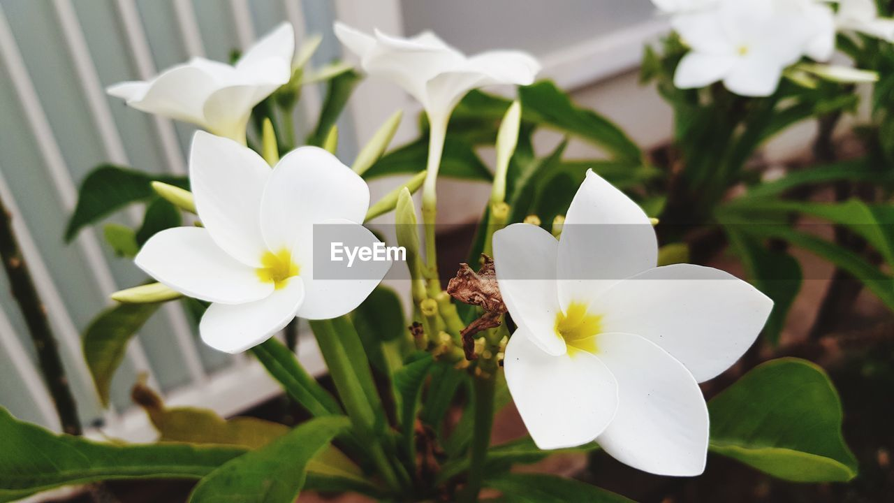 flowering plant, flower, fragility, vulnerability, plant, beauty in nature, petal, freshness, growth, flower head, white color, inflorescence, close-up, no people, focus on foreground, nature, day, pollen, botany, outdoors