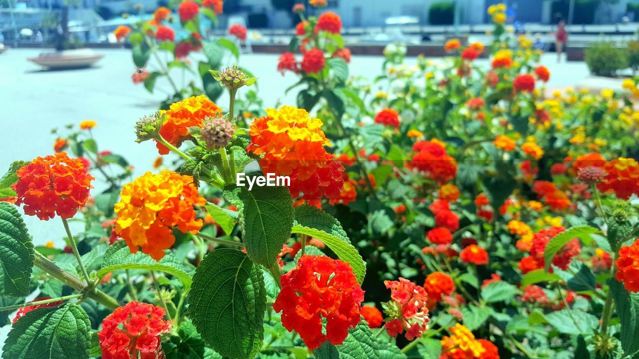 flowering plant, flower, freshness, plant, beauty in nature, fragility, growth, vulnerability, flower head, inflorescence, petal, focus on foreground, close-up, nature, no people, day, plant part, green color, leaf, orange color, outdoors, lantana