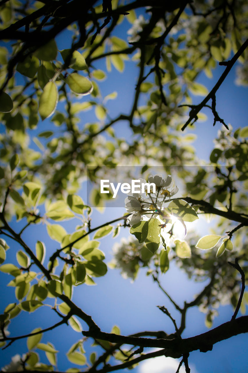 flower, tree, growth, branch, beauty in nature, nature, fragility, blossom, low angle view, freshness, springtime, apple blossom, white color, botany, no people, petal, blooming, day, outdoors, flower head, sky, close-up