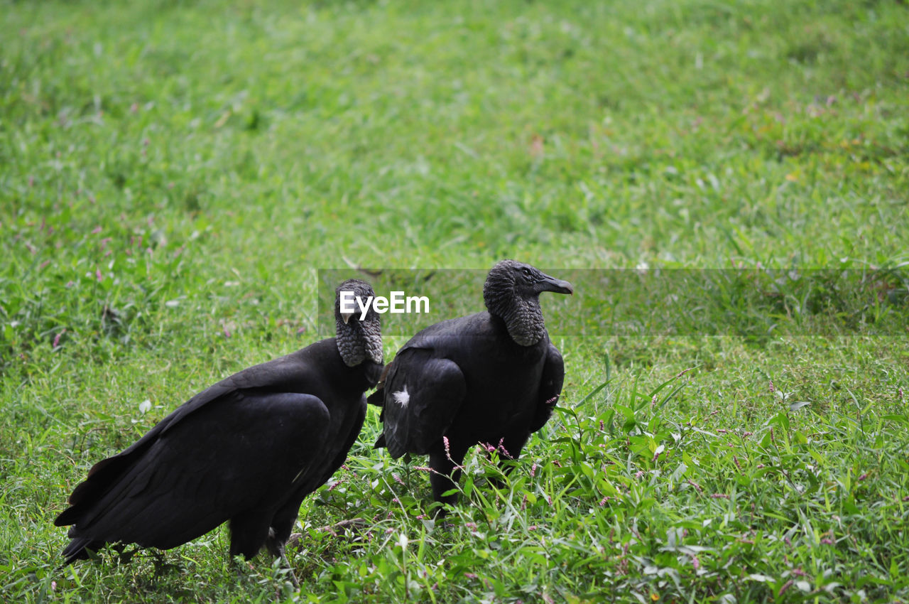 animal themes, animal, grass, plant, group of animals, animal wildlife, animals in the wild, vertebrate, field, green color, land, black color, two animals, day, no people, bird, nature, mammal, outdoors, growth, animal family