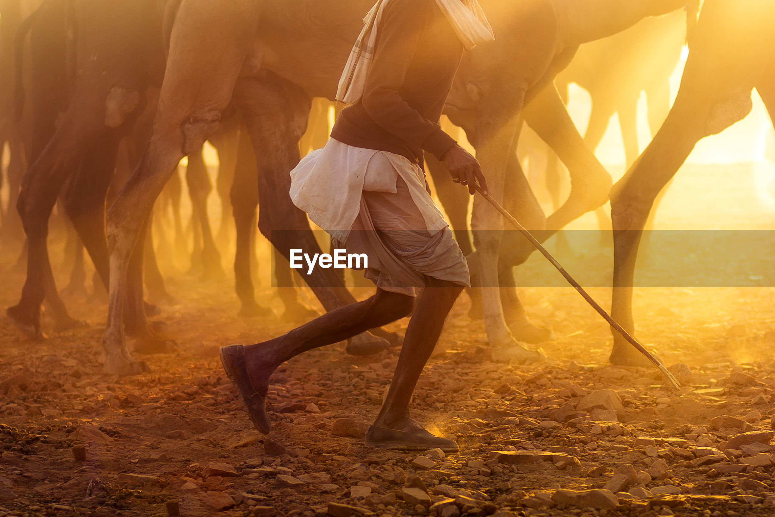 Low section of man walking with camels on field