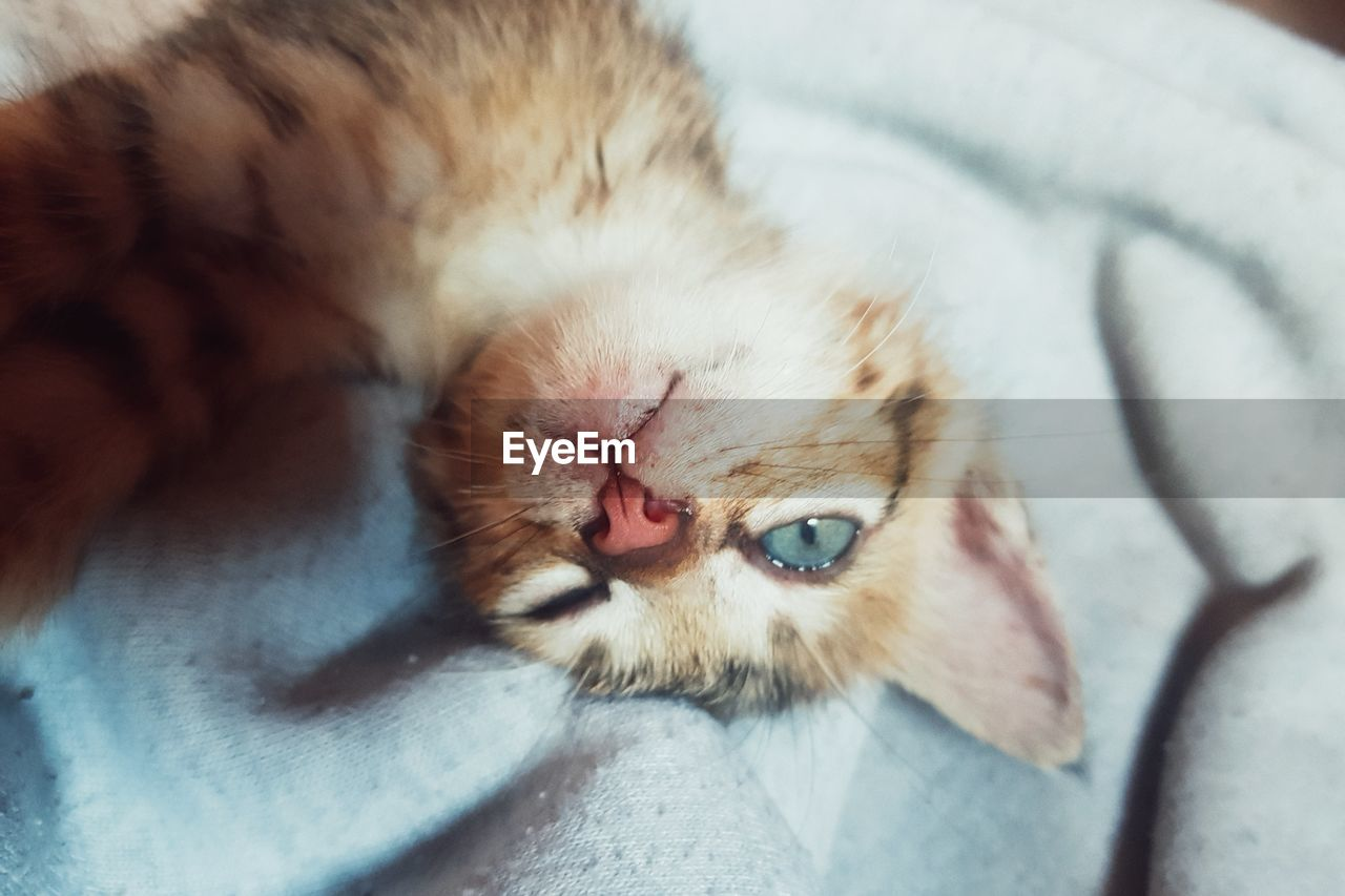 mammal, animal themes, animal, one animal, domestic animals, cat, pets, domestic, feline, relaxation, domestic cat, vertebrate, close-up, lying down, no people, resting, sleeping, bed, furniture, eyes closed, whisker, animal head