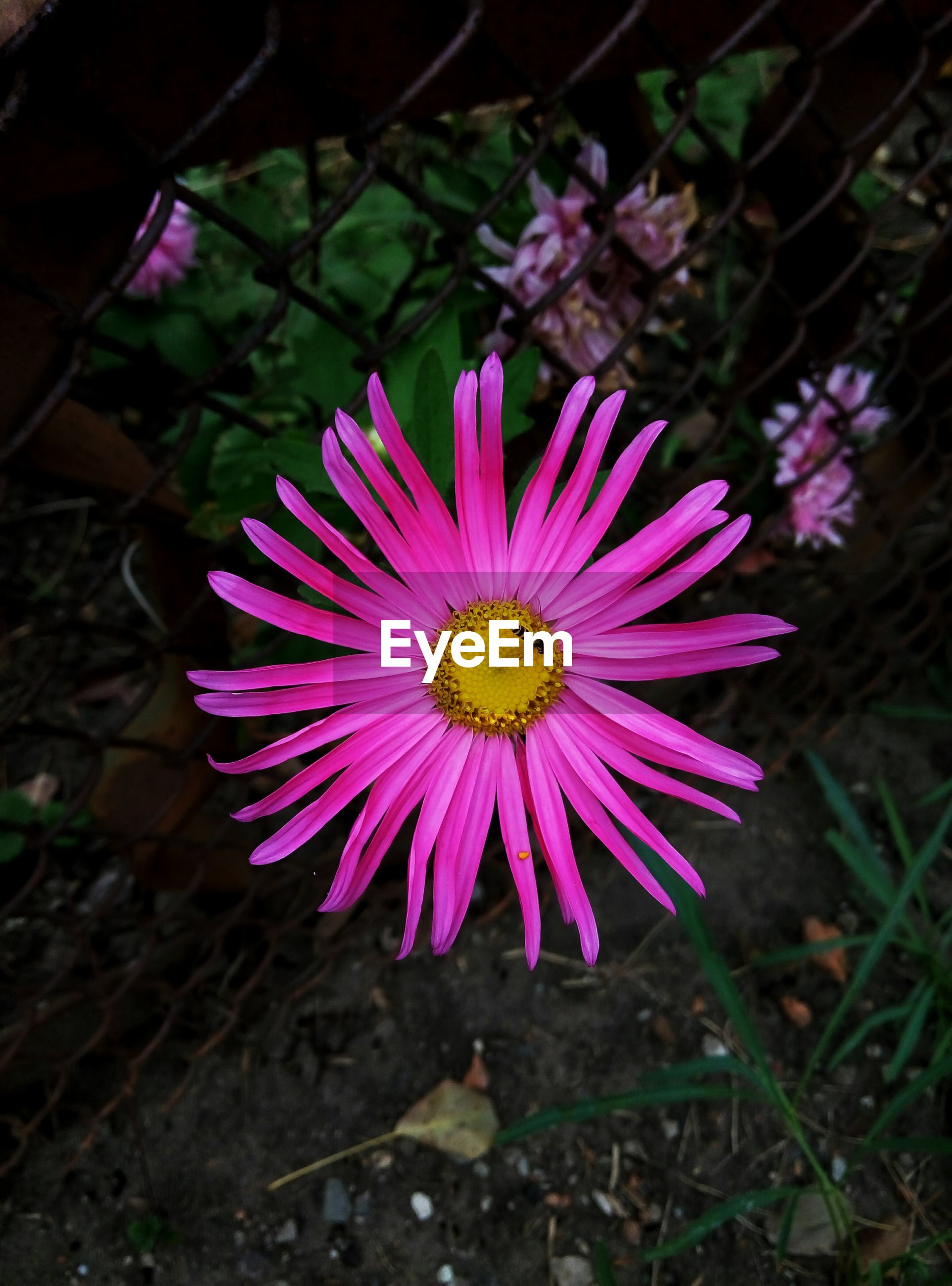 flower, freshness, fragility, flower head, petal, single flower, close-up, beauty in nature, growth, nature, springtime, in bloom, daisy, blossom, purple, plant, focus on foreground, blooming, pollen, botany, bloom, day, pink color, outdoors, vibrant color, no people