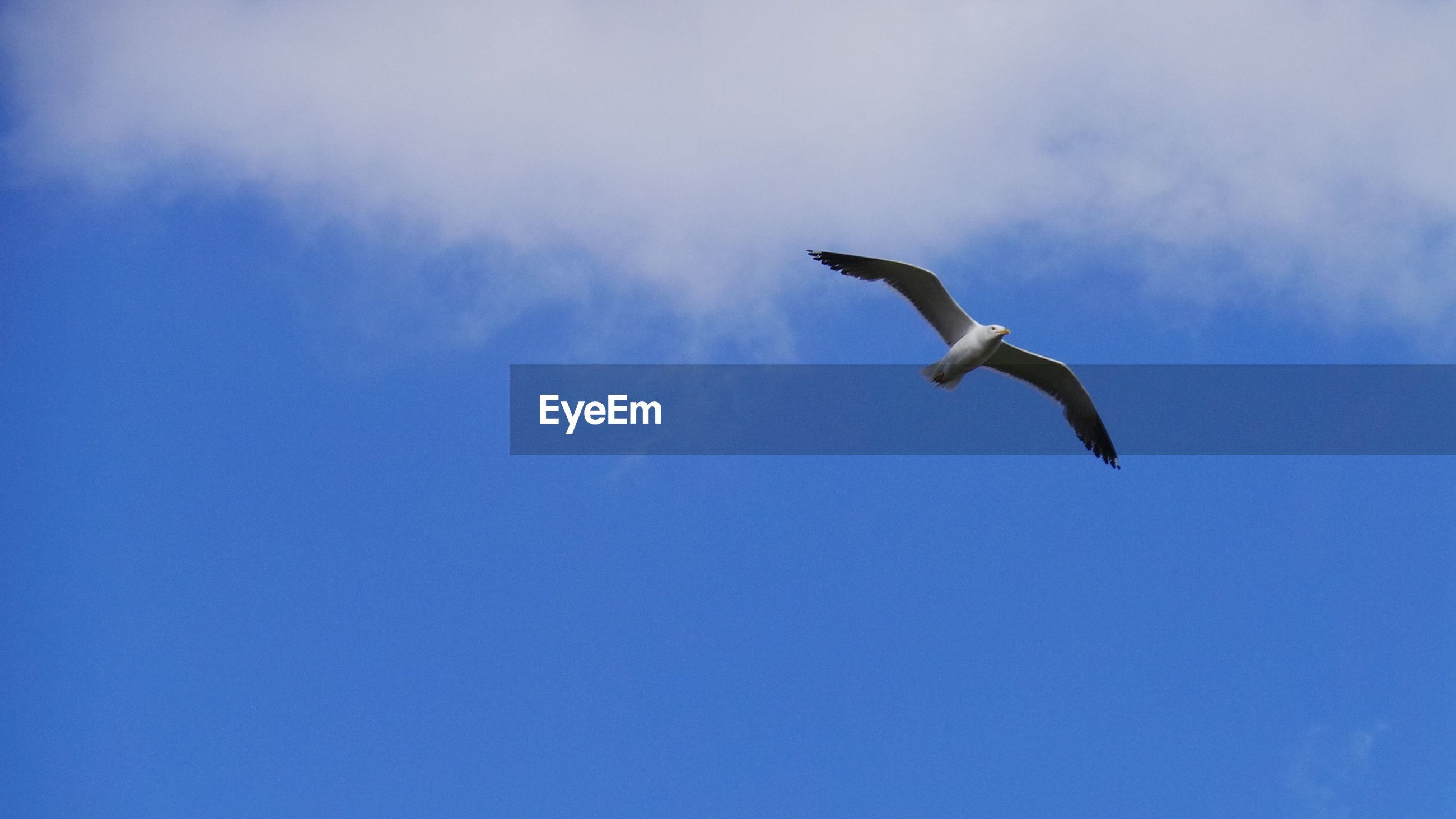 bird, animal themes, flying, animals in the wild, low angle view, wildlife, spread wings, one animal, mid-air, blue, sky, seagull, nature, full length, motion, cloud - sky, day, outdoors, freedom, beauty in nature