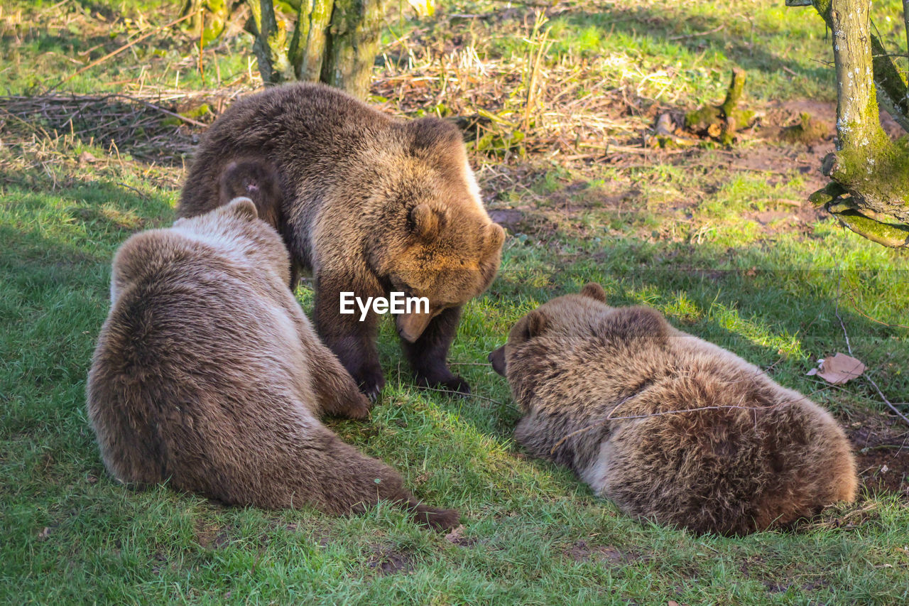 bear, grass, animal wildlife, animals in the wild, two animals, grizzly bear, animal themes, no people, animal, mammal, nature, day, young animal, outdoors, togetherness, close-up