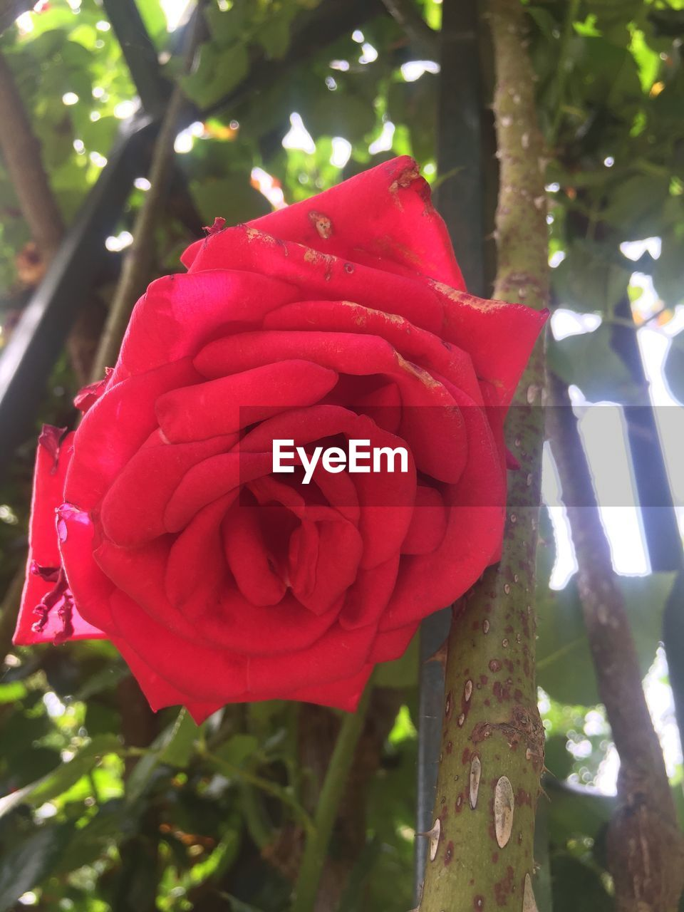 red, flower, beauty in nature, nature, growth, petal, fragility, rose - flower, no people, day, outdoors, freshness, tree, focus on foreground, flower head, close-up, plant, blooming