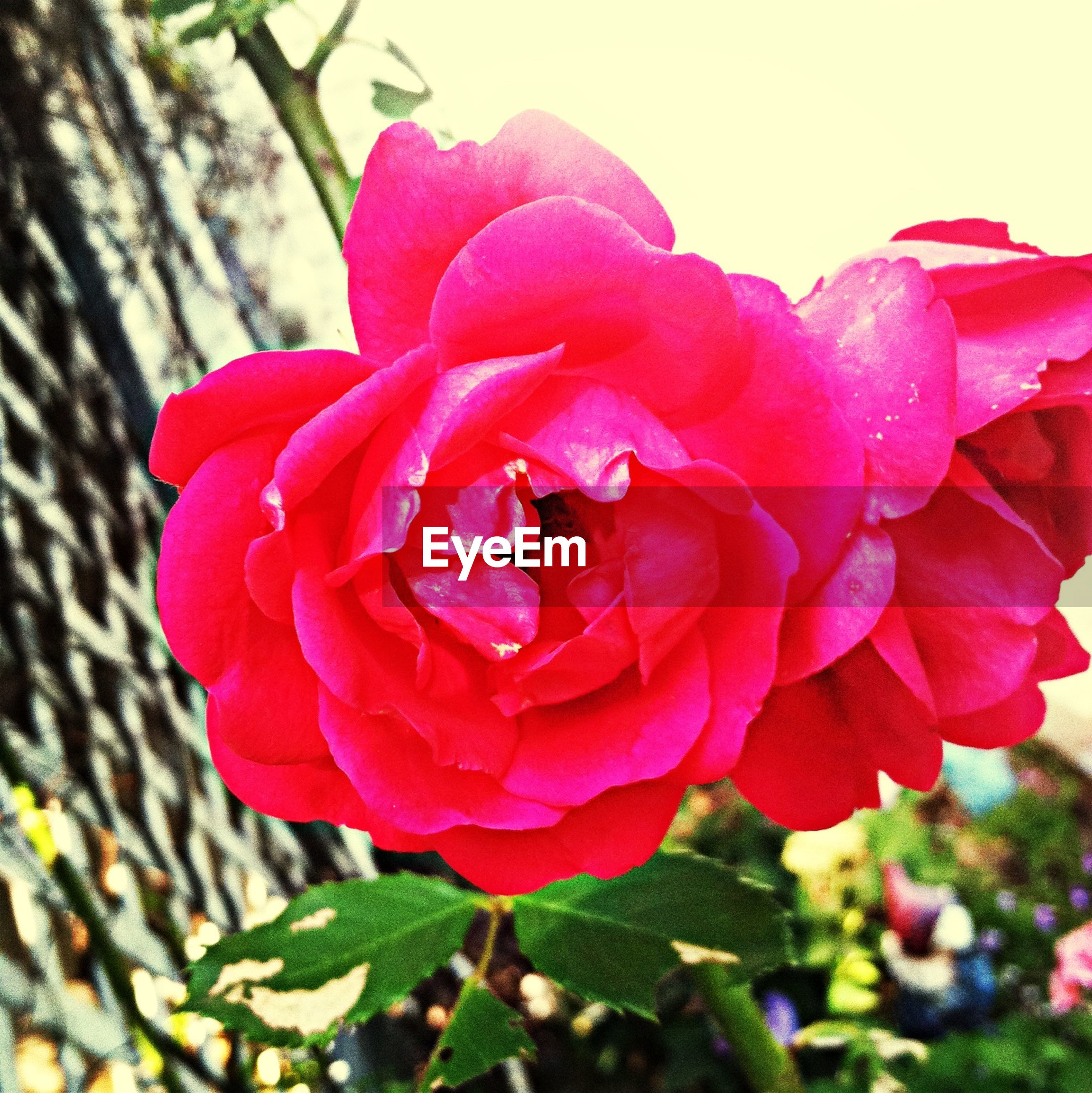 flower, petal, flower head, freshness, fragility, rose - flower, close-up, beauty in nature, red, growth, pink color, single flower, blooming, focus on foreground, nature, drop, plant, in bloom, rose, wet