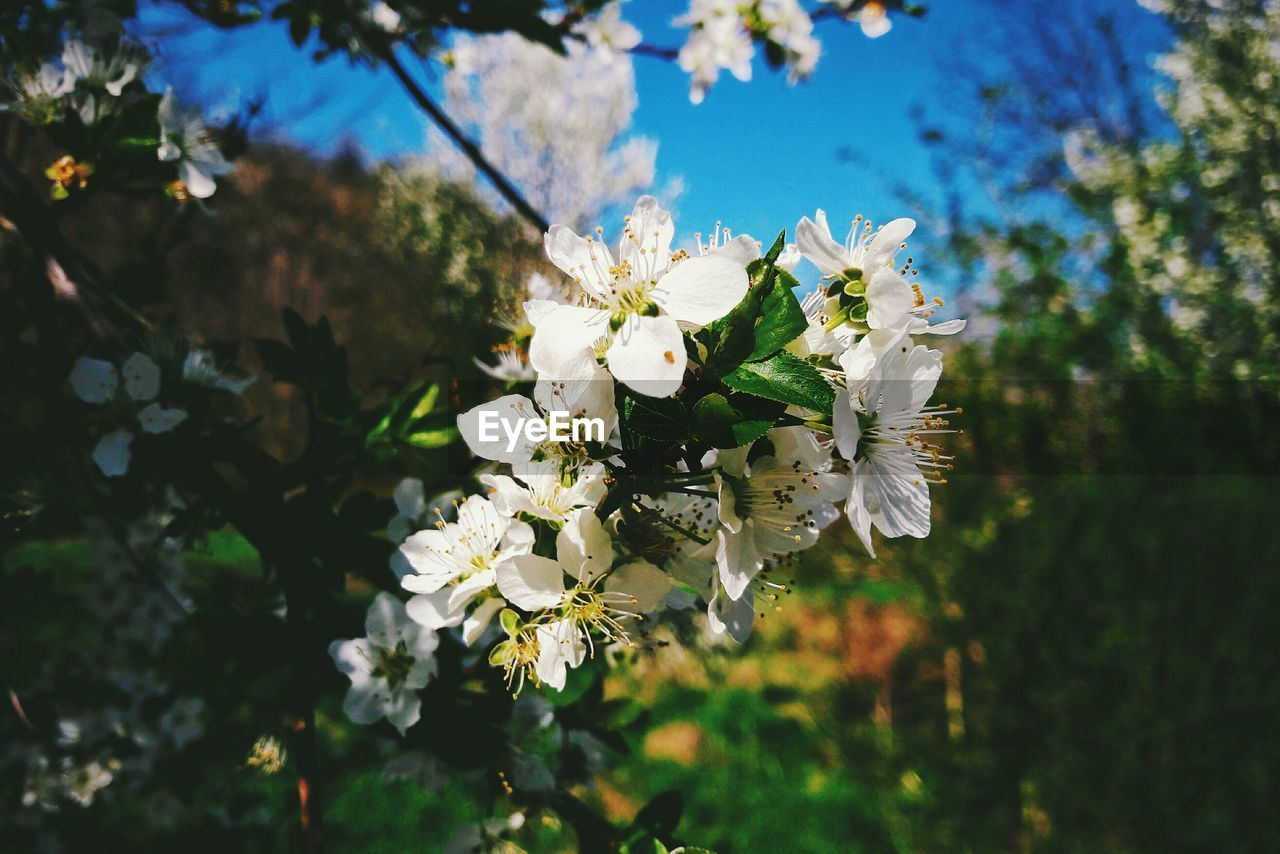flower, fragility, tree, growth, nature, white color, beauty in nature, petal, blossom, no people, freshness, day, close-up, branch, outdoors, springtime, bee, blooming, flower head, animal themes