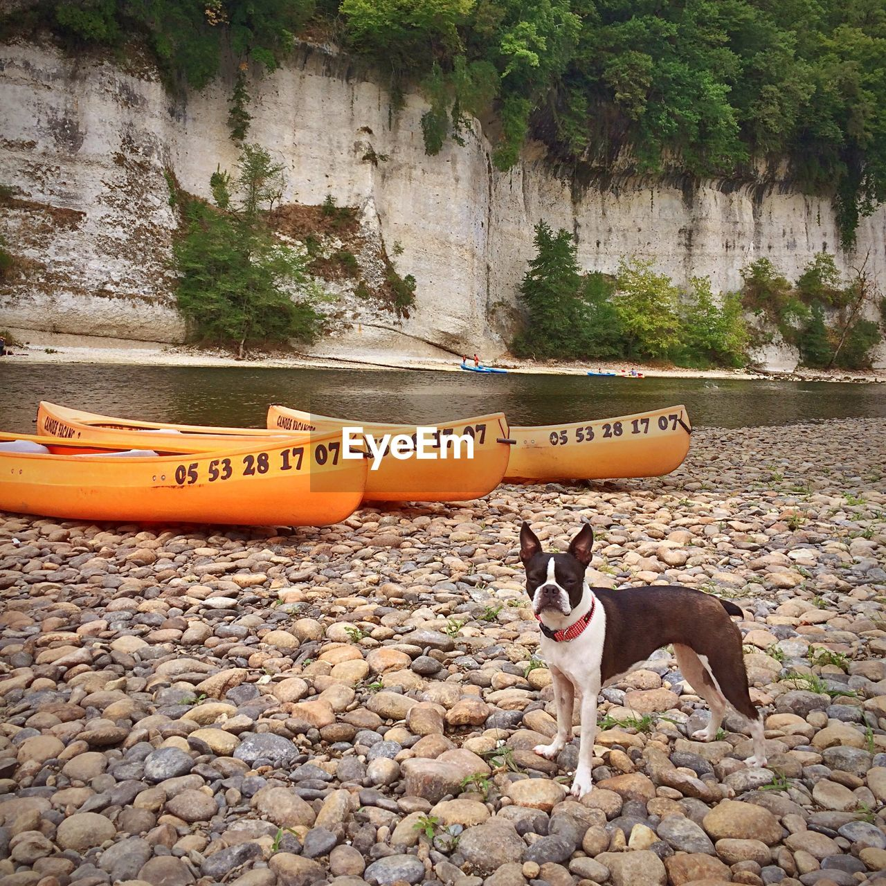 Boston terrier standing on pebbles by canoes at riverbank