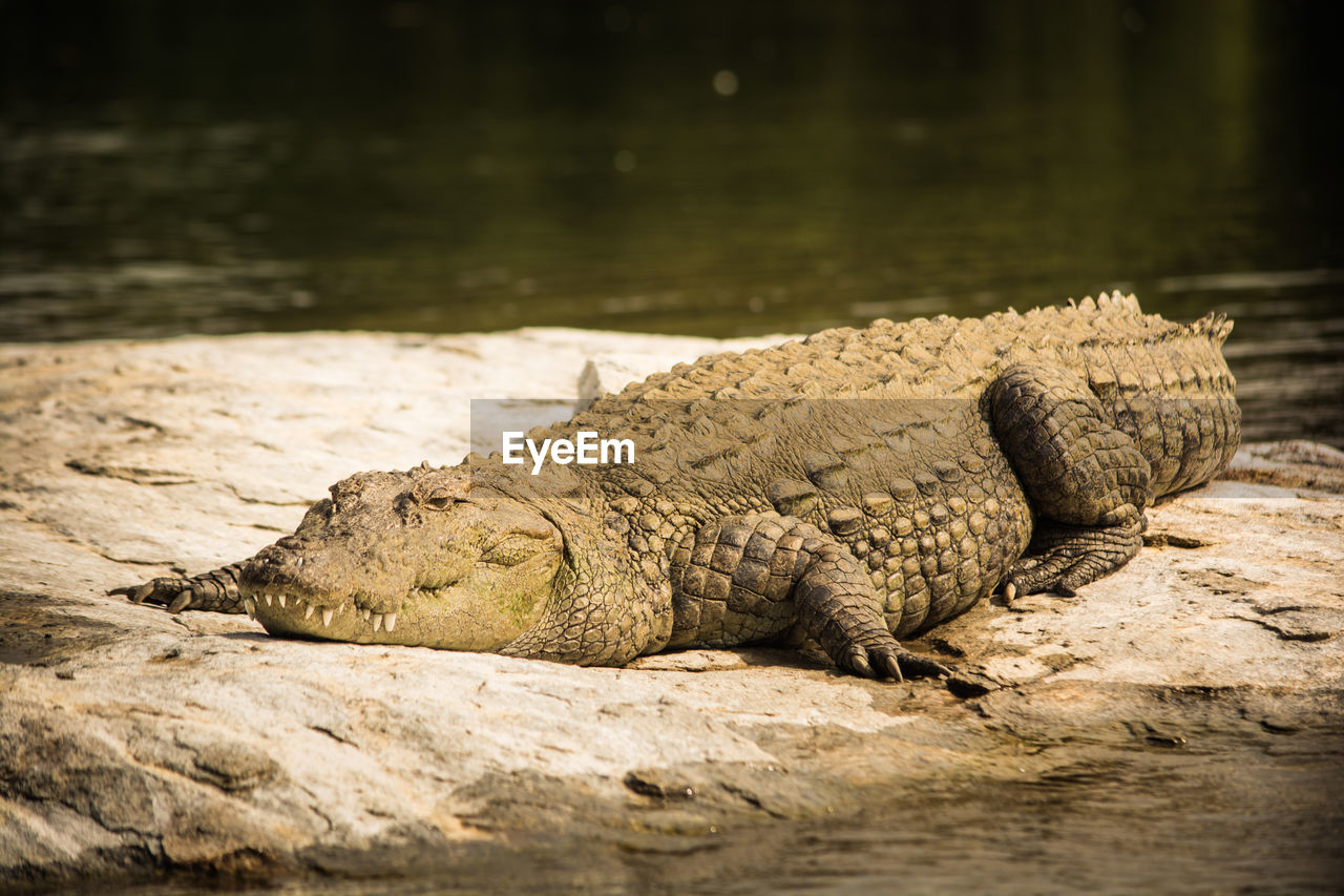 animal wildlife, animals in the wild, reptile, animal themes, animal, one animal, water, vertebrate, nature, crocodile, lake, no people, relaxation, day, zoo, selective focus, solid, rock - object, rock, outdoors, iguana