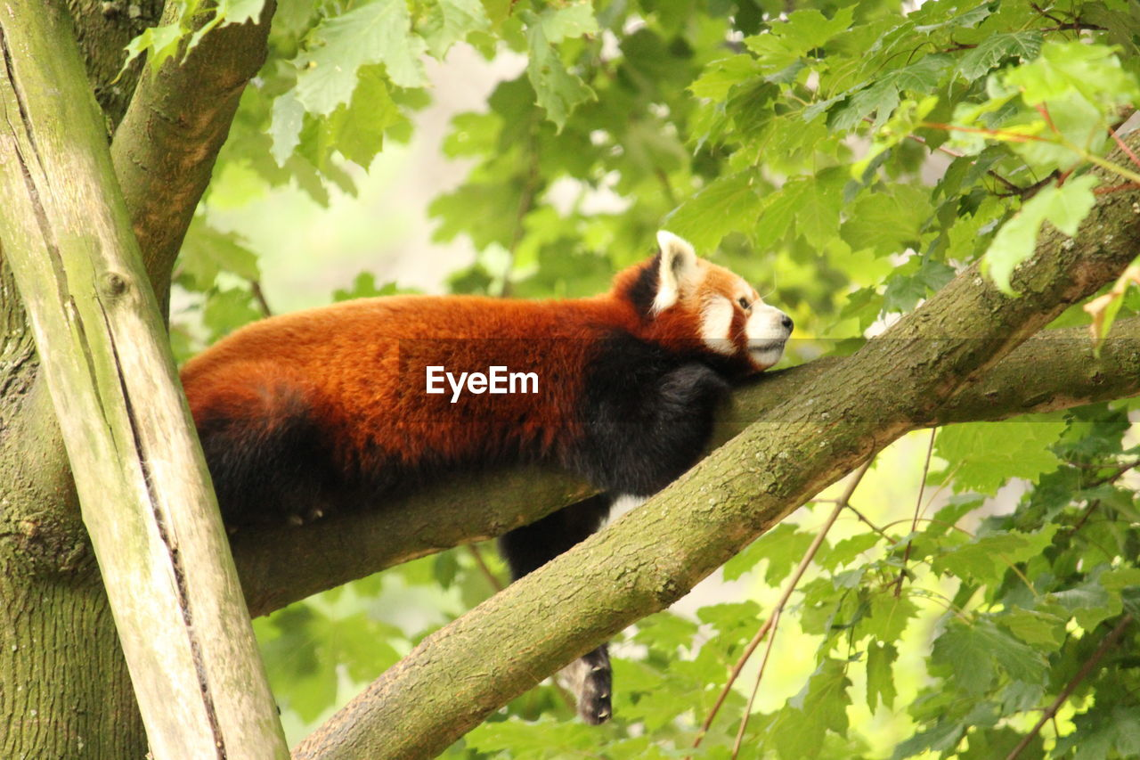 one animal, tree, animal wildlife, animal, animals in the wild, animal themes, plant, mammal, branch, vertebrate, nature, no people, day, outdoors, forest, plant part, leaf, primate, focus on foreground, red panda