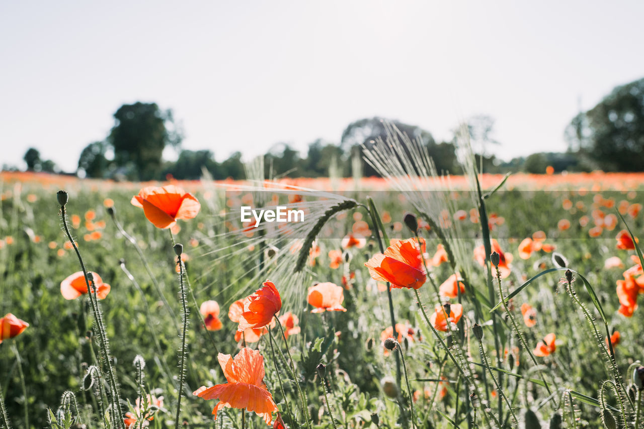 Close-Up Of Poppy Flowers On Field Against Sky