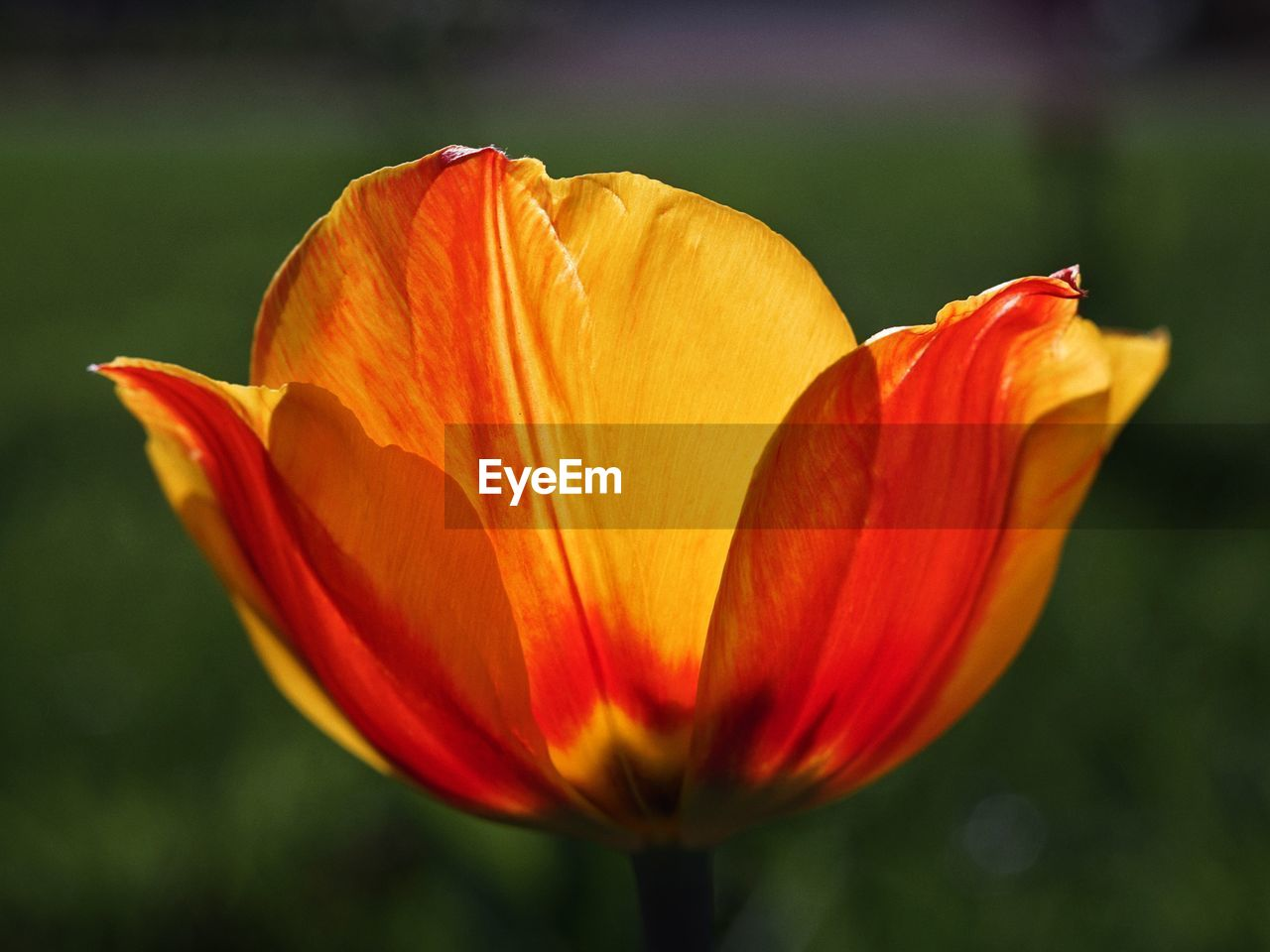 fragility, vulnerability, flowering plant, flower, petal, freshness, beauty in nature, flower head, inflorescence, plant, close-up, growth, focus on foreground, orange color, nature, day, no people, lily, botany, pollen, orange