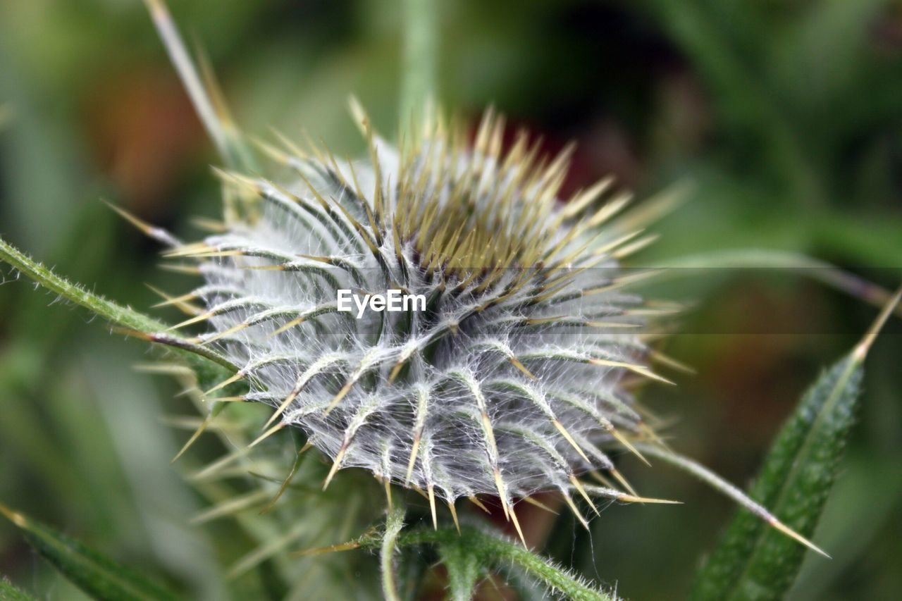 nature, growth, plant, beauty in nature, focus on foreground, close-up, no people, fragility, day, tranquility, outdoors, flower, thistle, freshness, flower head