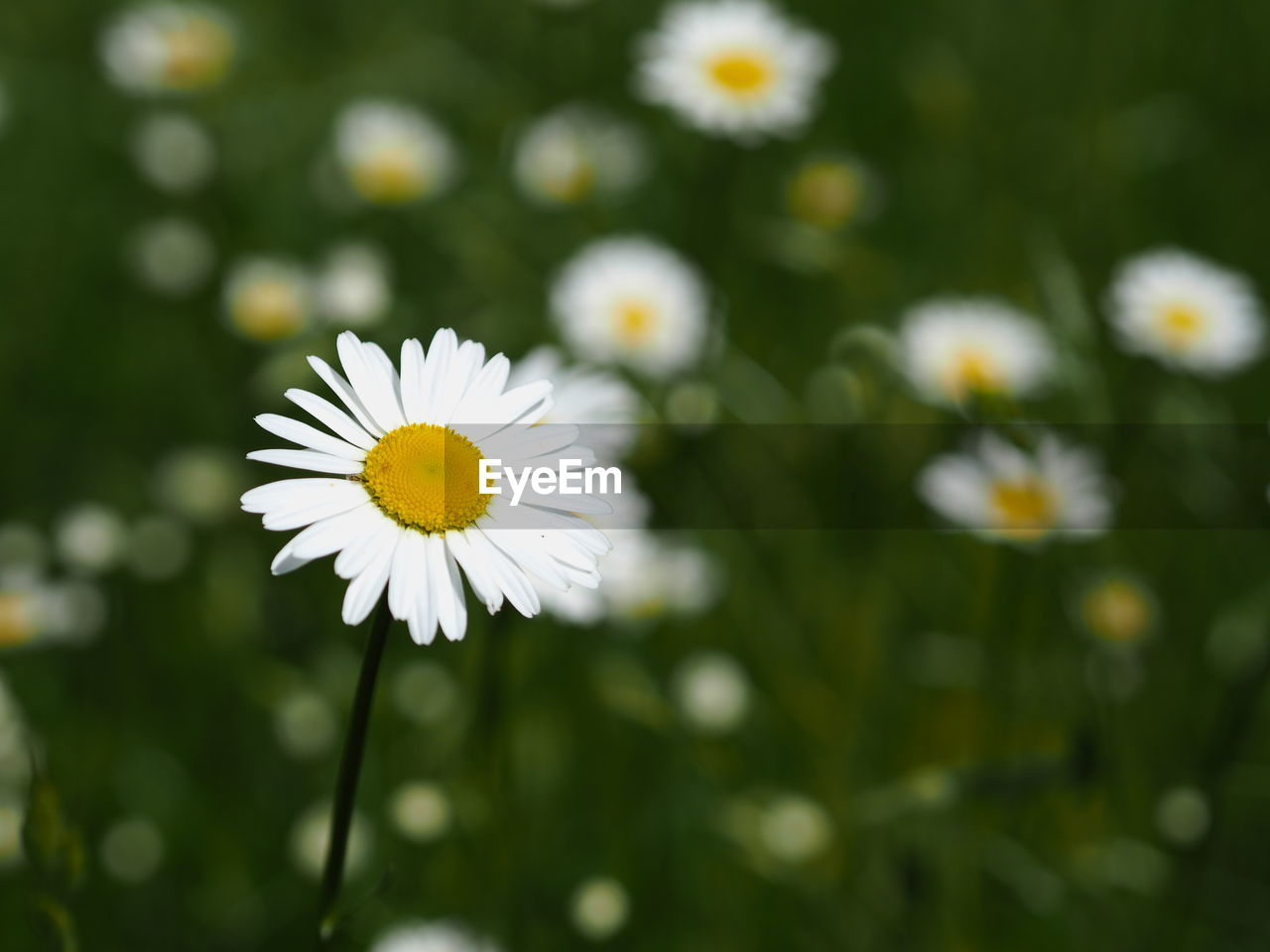 flower, petal, nature, beauty in nature, fragility, white color, freshness, flower head, daisy, growth, blooming, yellow, pollen, outdoors, close-up, day, plant, no people