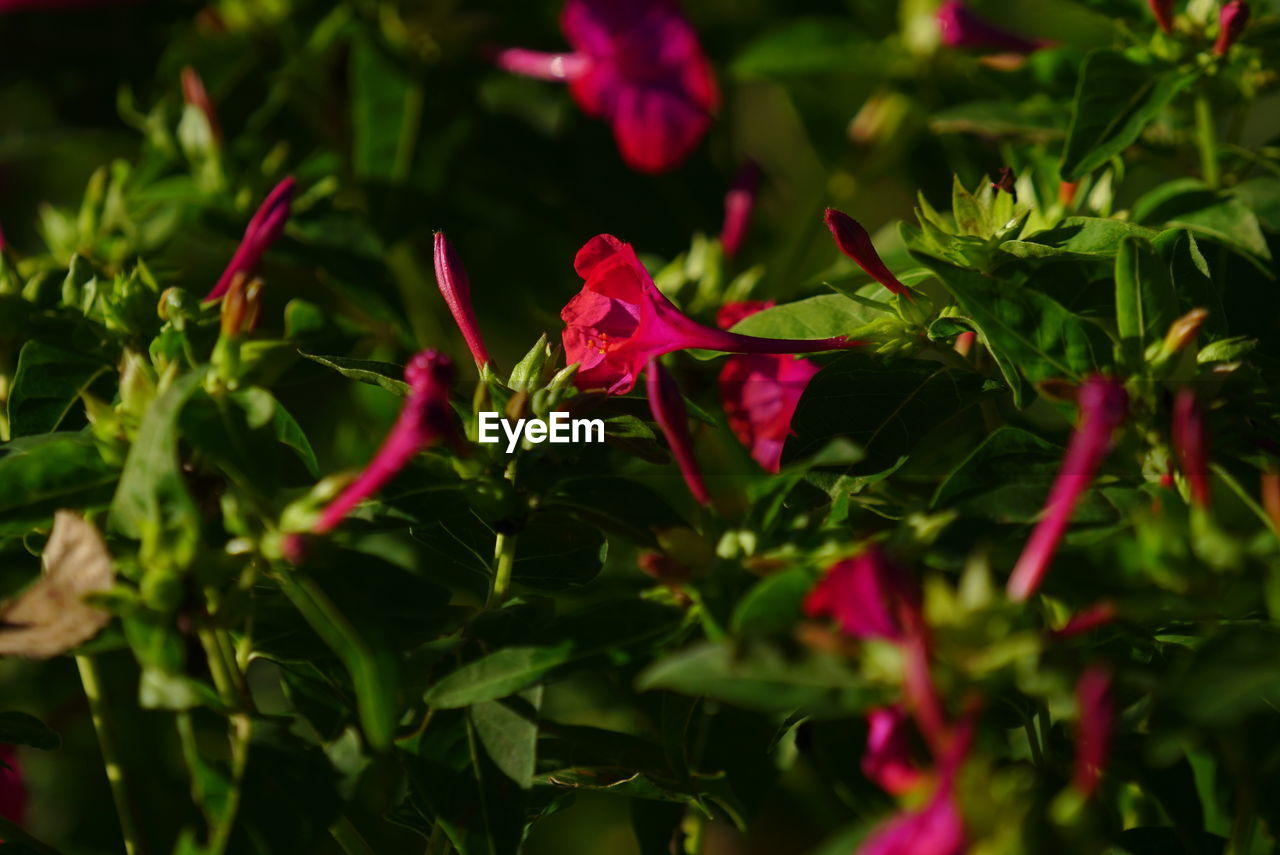 growth, leaf, plant, nature, no people, red, outdoors, flower, beauty in nature, day, close-up, fragility, freshness