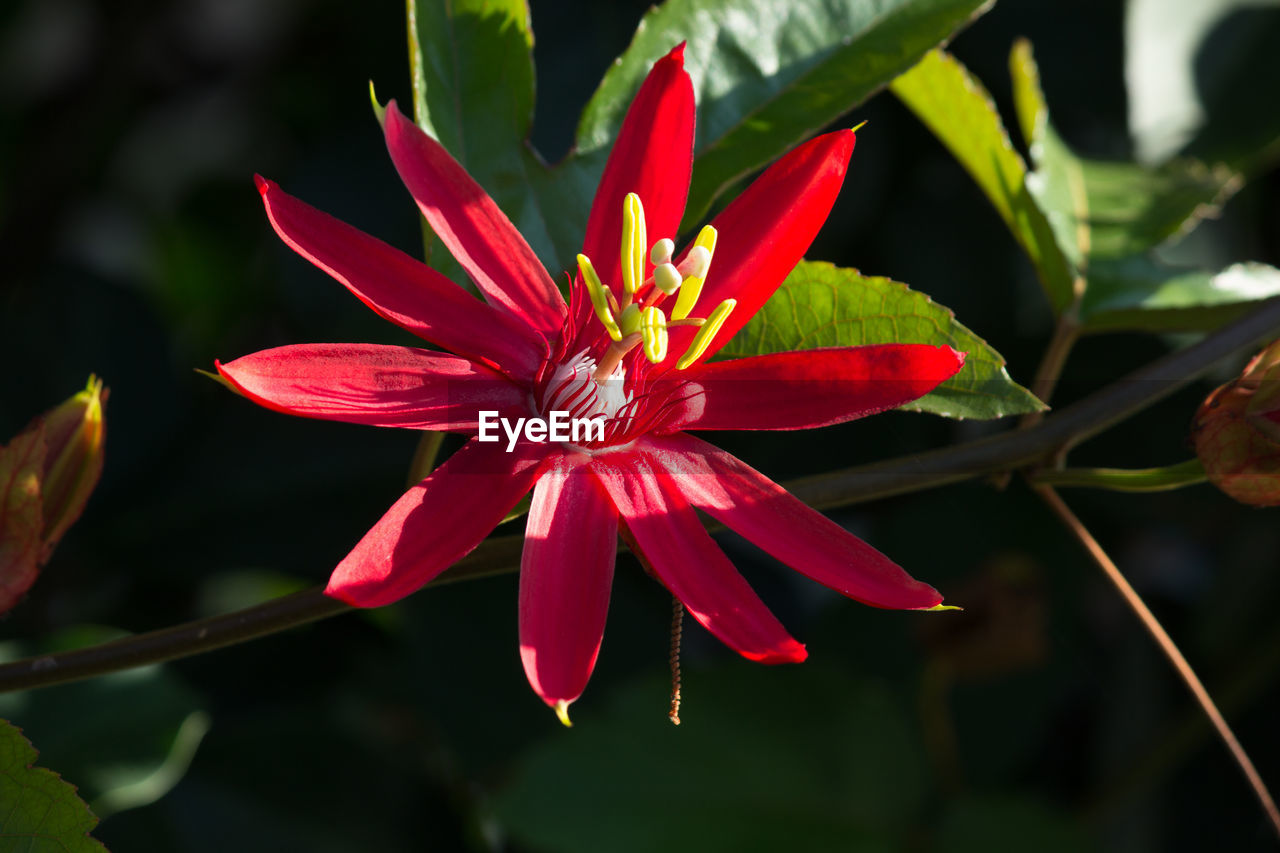 Close-Up Of Red Flower Growing Outdoors