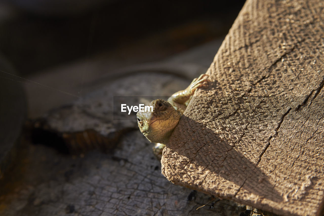 animal, one animal, animal themes, animal wildlife, no people, animals in the wild, reptile, close-up, focus on foreground, vertebrate, nature, day, sunlight, outdoors, selective focus, animal body part, lizard, brown, tree, animal head