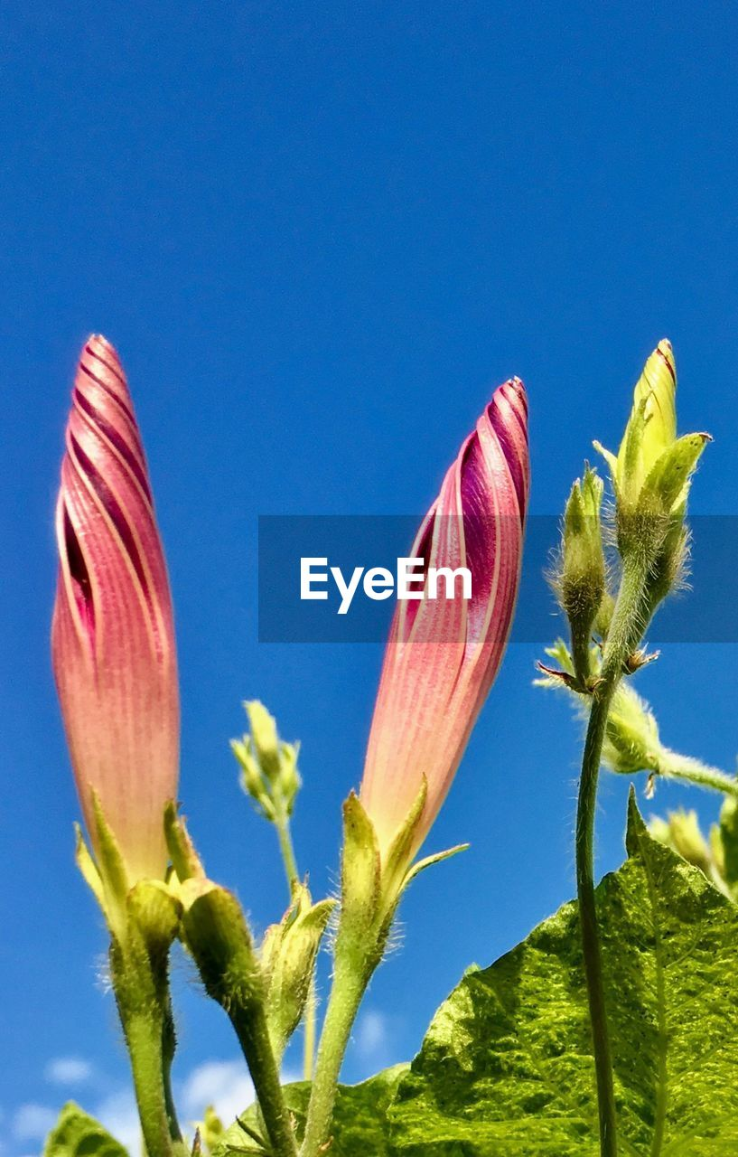 flowering plant, flower, beauty in nature, growth, plant, vulnerability, freshness, fragility, petal, close-up, nature, blue, inflorescence, no people, flower head, sky, bud, plant stem, copy space, pink color, outdoors, springtime, pollen, blue background, sepal