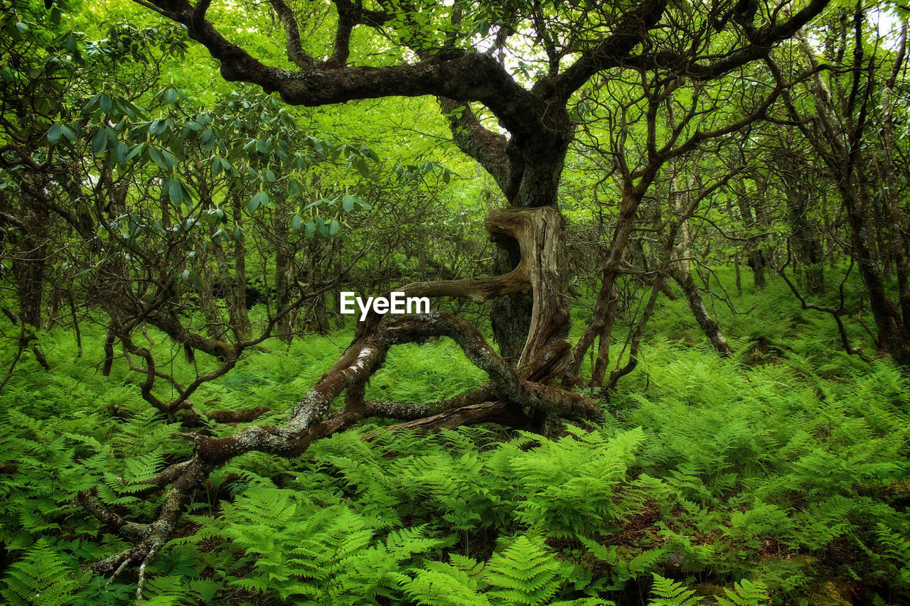 tree, green color, nature, branch, lush foliage, forest, outdoors, tree trunk, tranquility, day, growth, no people, beauty in nature, leaf, plant, scenics