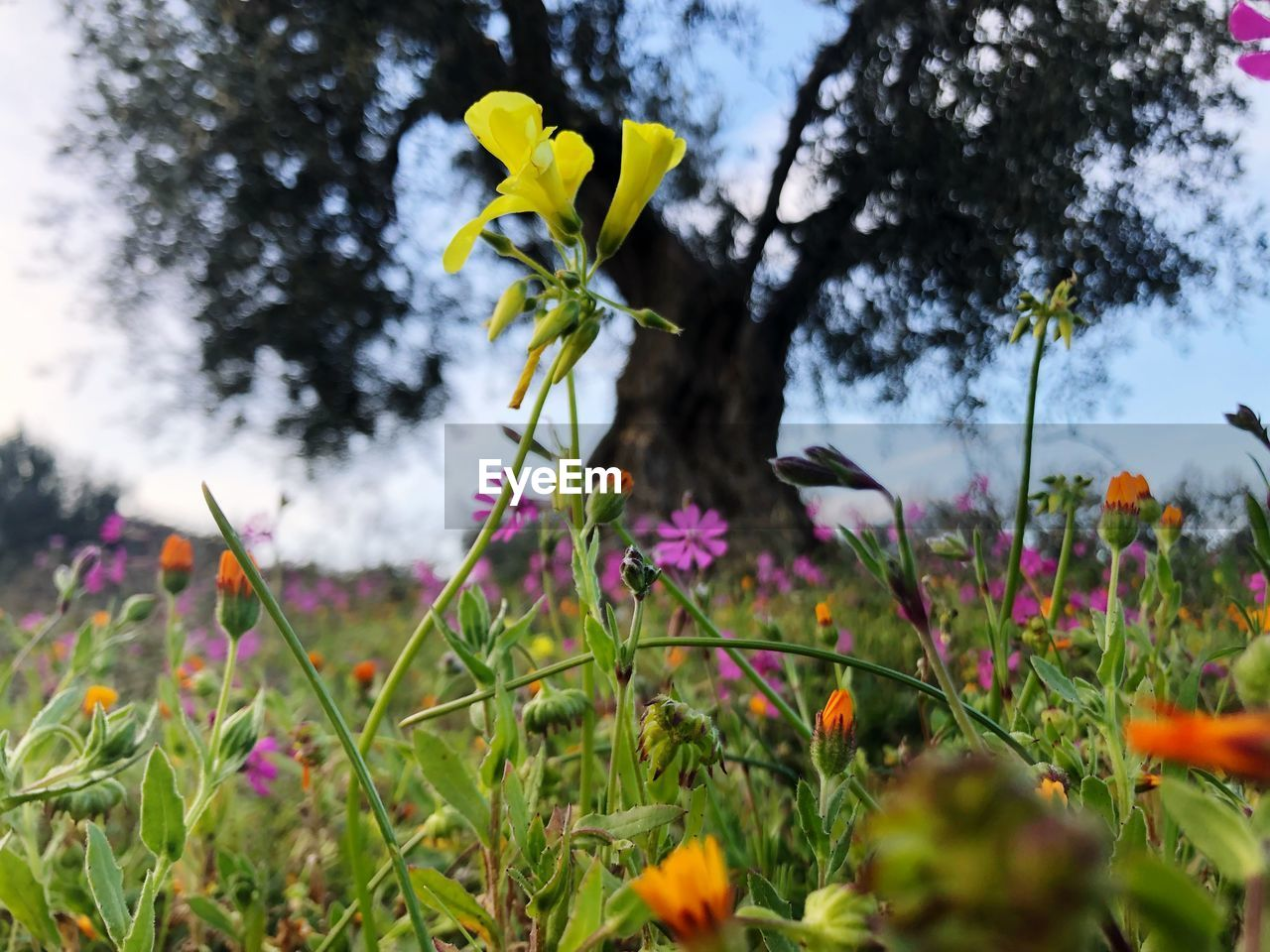 plant, flowering plant, flower, growth, fragility, beauty in nature, freshness, vulnerability, yellow, close-up, land, petal, nature, field, day, no people, flower head, selective focus, inflorescence, outdoors, purple, crocus