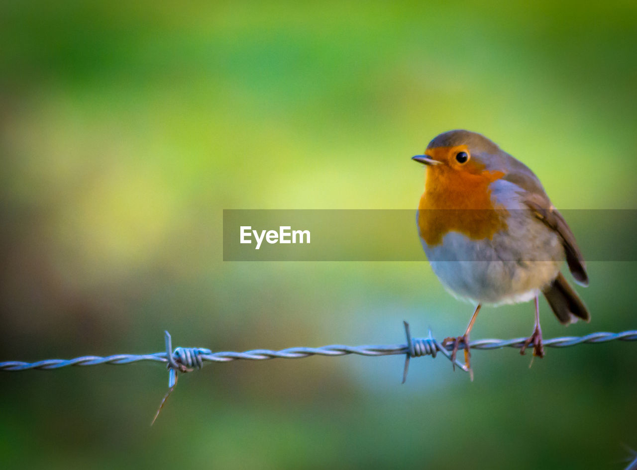 one animal, bird, animal themes, focus on foreground, outdoors, animals in the wild, no people, perching, day, close-up, nature
