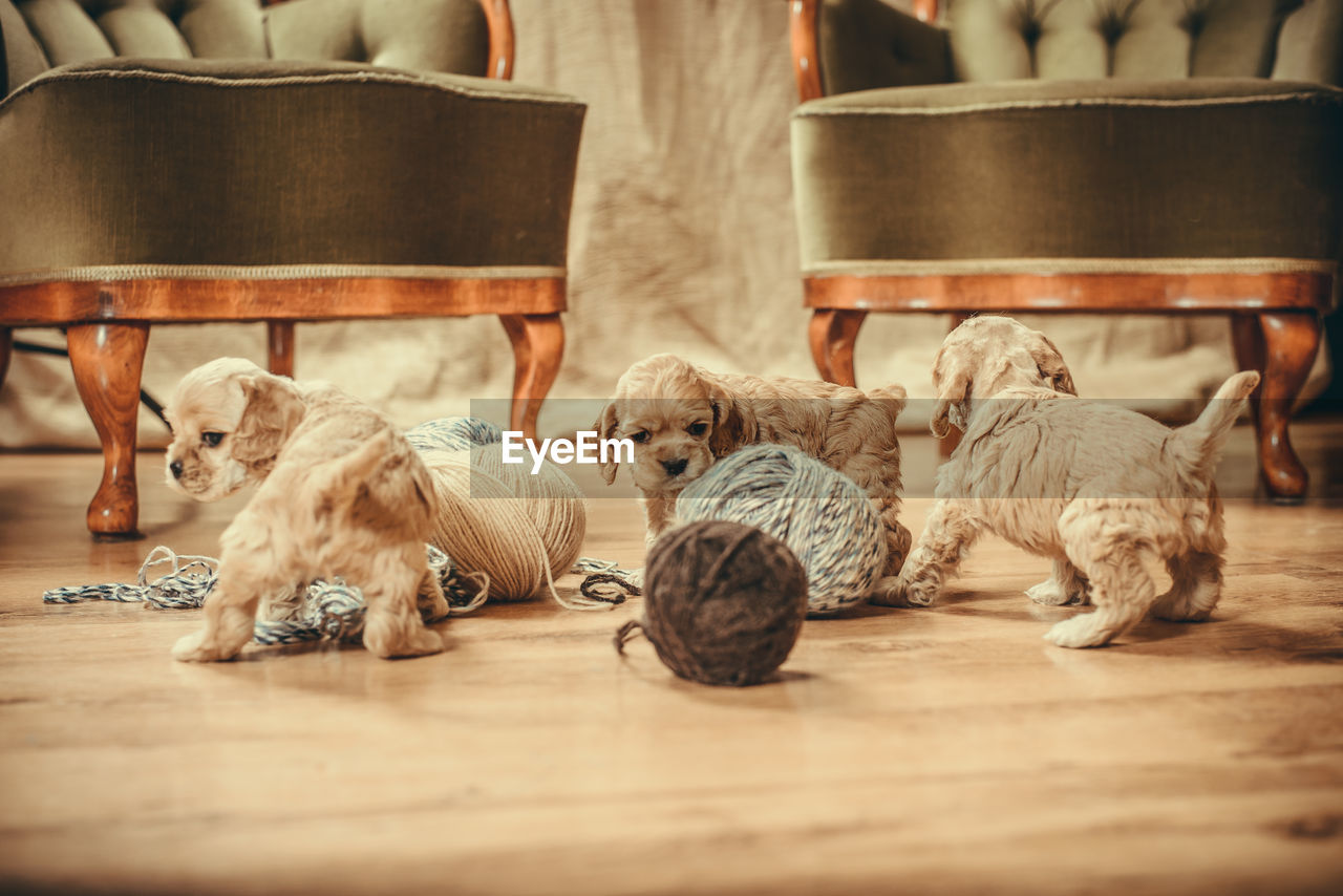 mammal, domestic, domestic animals, pets, animal themes, animal, group of animals, canine, indoors, relaxation, dog, vertebrate, wood - material, selective focus, flooring, no people, resting, young animal, wood, animal family