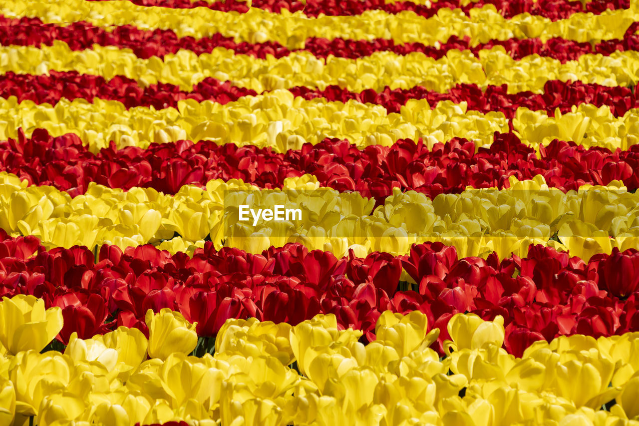 FULL FRAME SHOT OF MULTI COLORED TULIPS IN RED YELLOW FLOWER