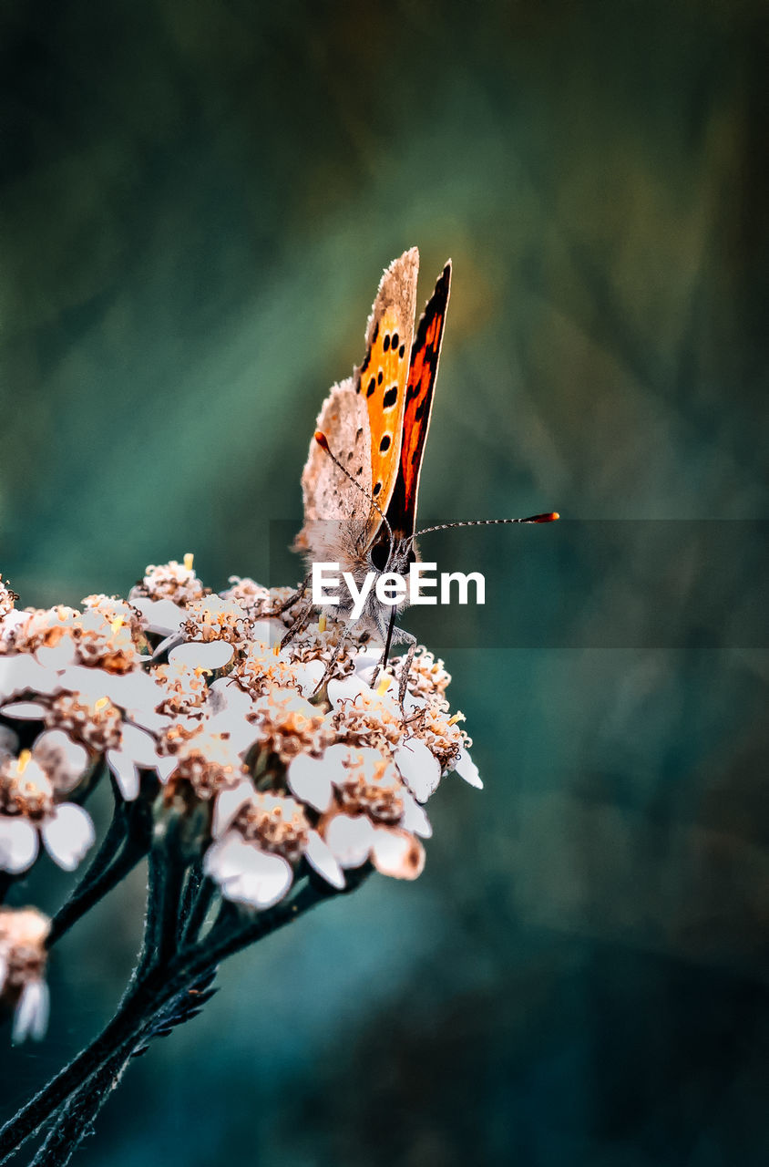 flower, animal wildlife, beauty in nature, one animal, flowering plant, animal themes, insect, animals in the wild, animal, invertebrate, plant, animal wing, fragility, vulnerability, butterfly - insect, no people, close-up, nature, focus on foreground, growth, flower head, outdoors, pollination, springtime, butterfly