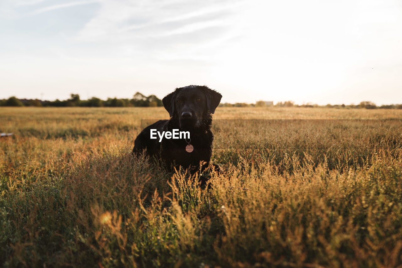 Dog standing amidst plants on field against sky during sunset