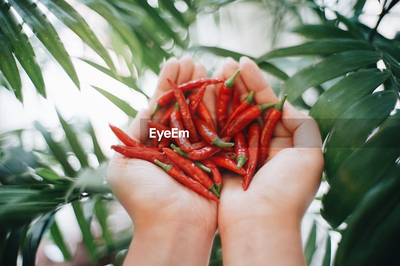 red, hand, human hand, food and drink, human body part, holding, one person, freshness, food, close-up, plant, real people, wellbeing, healthy eating, day, leaf, plant part, focus on foreground, growth, body part, finger