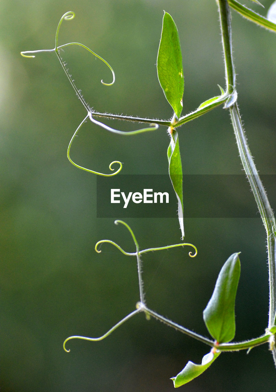plant, growth, green color, beauty in nature, nature, plant part, leaf, focus on foreground, close-up, no people, day, tendril, outdoors, plant stem, fragility, tranquility, vulnerability, twig, beginnings, freshness