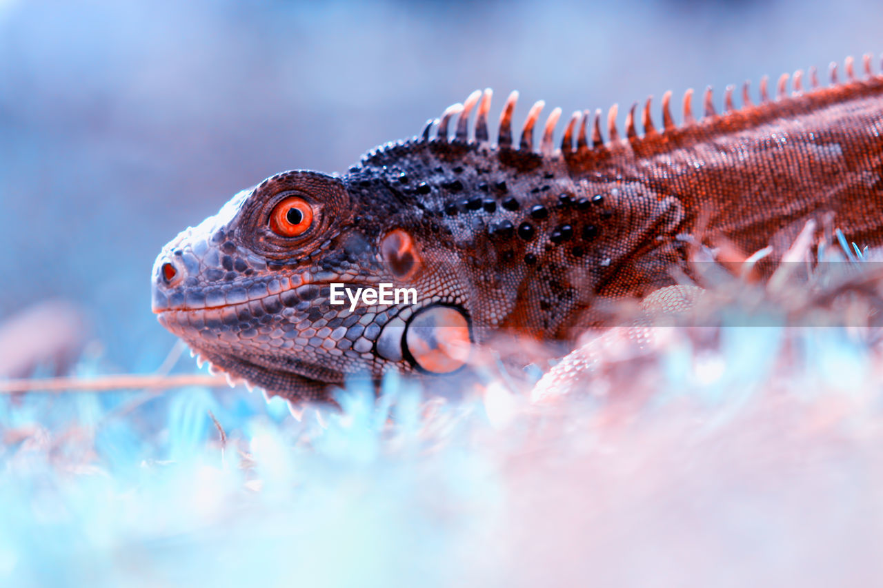 animal, animal themes, one animal, animal wildlife, animals in the wild, vertebrate, close-up, selective focus, nature, lizard, no people, day, reptile, outdoors, swimming, animal body part, side view, animals in captivity, tank, eye, animal eye, profile view, marine, iguana