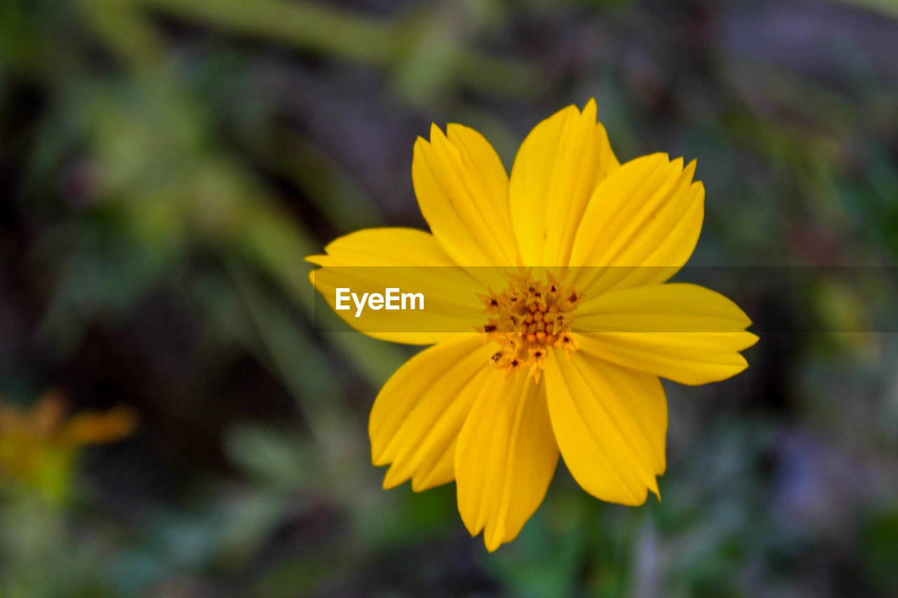 flowering plant, flower, yellow, fragility, petal, vulnerability, flower head, inflorescence, freshness, beauty in nature, plant, growth, close-up, pollen, focus on foreground, no people, nature, cosmos flower, day, gazania