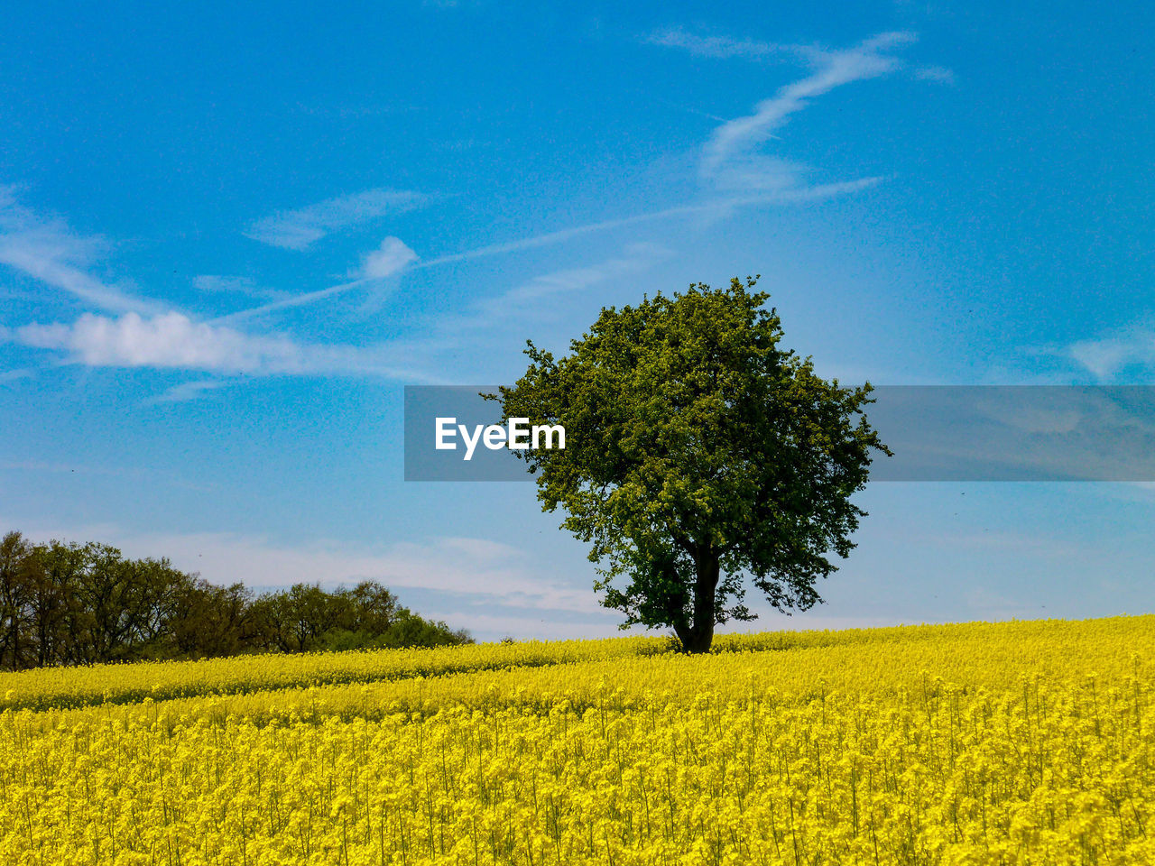 plant, landscape, field, beauty in nature, land, sky, yellow, growth, tranquility, environment, tranquil scene, tree, agriculture, nature, rural scene, flower, oilseed rape, scenics - nature, crop, blue, no people, outdoors