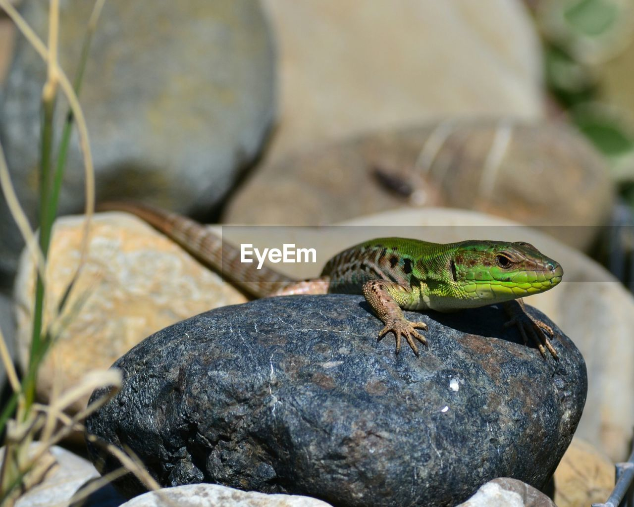 animal, animal themes, reptile, animal wildlife, one animal, solid, rock, rock - object, animals in the wild, lizard, vertebrate, focus on foreground, no people, nature, day, close-up, green color, outdoors, zoology, animal body part, animal scale