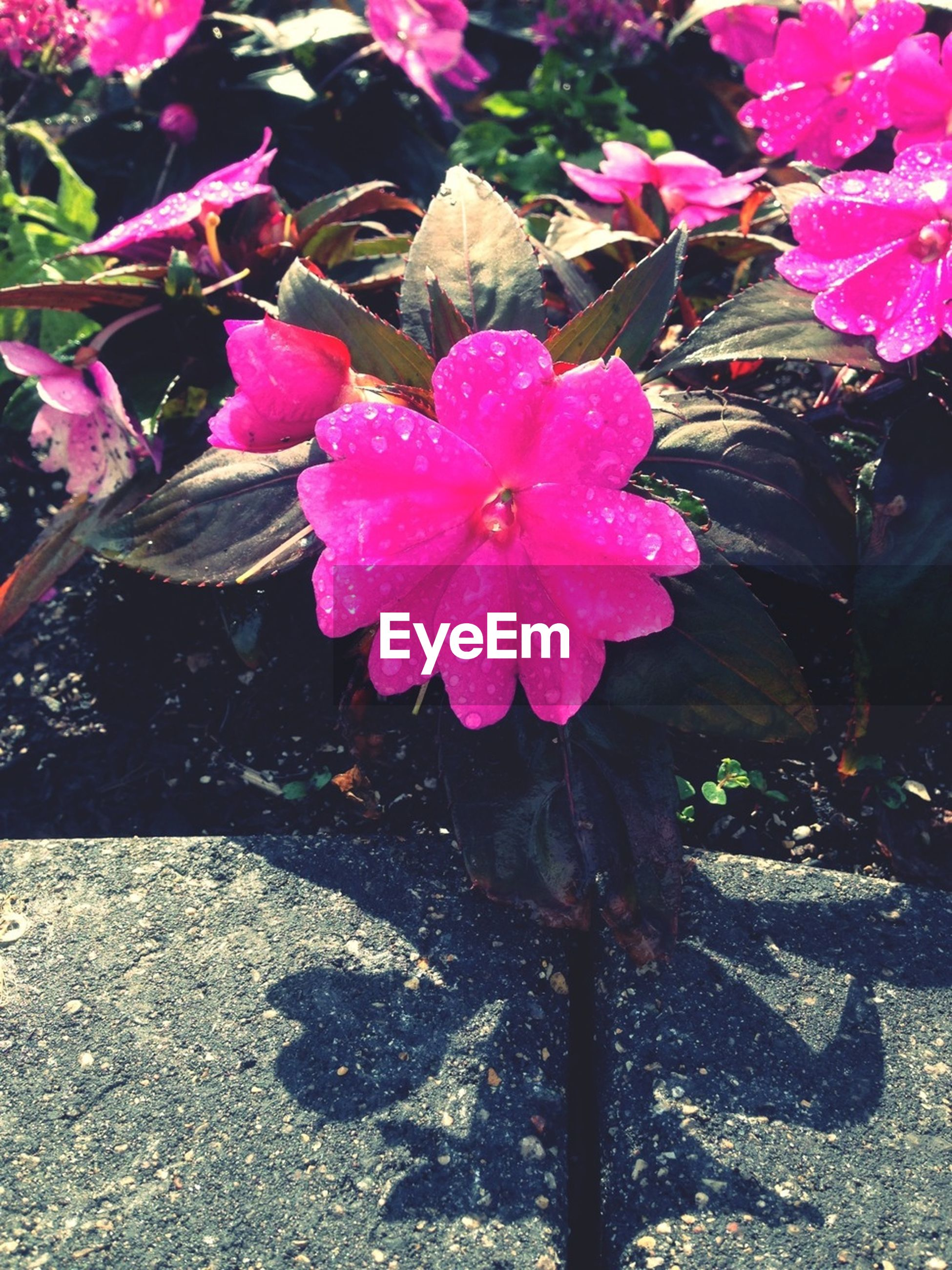 flower, pink color, freshness, growth, petal, fragility, high angle view, beauty in nature, nature, plant, blooming, outdoors, leaf, flower head, day, pink, park - man made space, in bloom, sunlight, close-up
