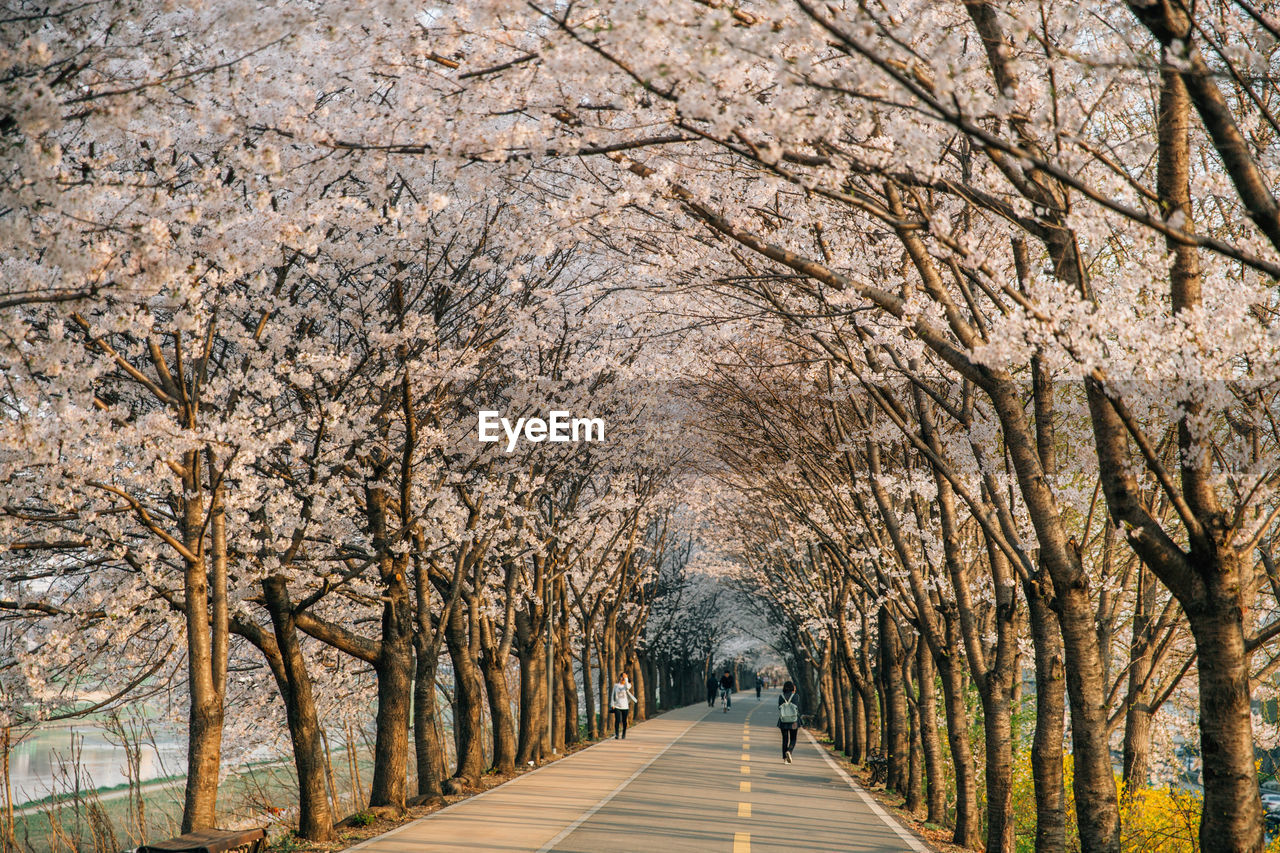 Road Amidst Cherry Trees During Springtime