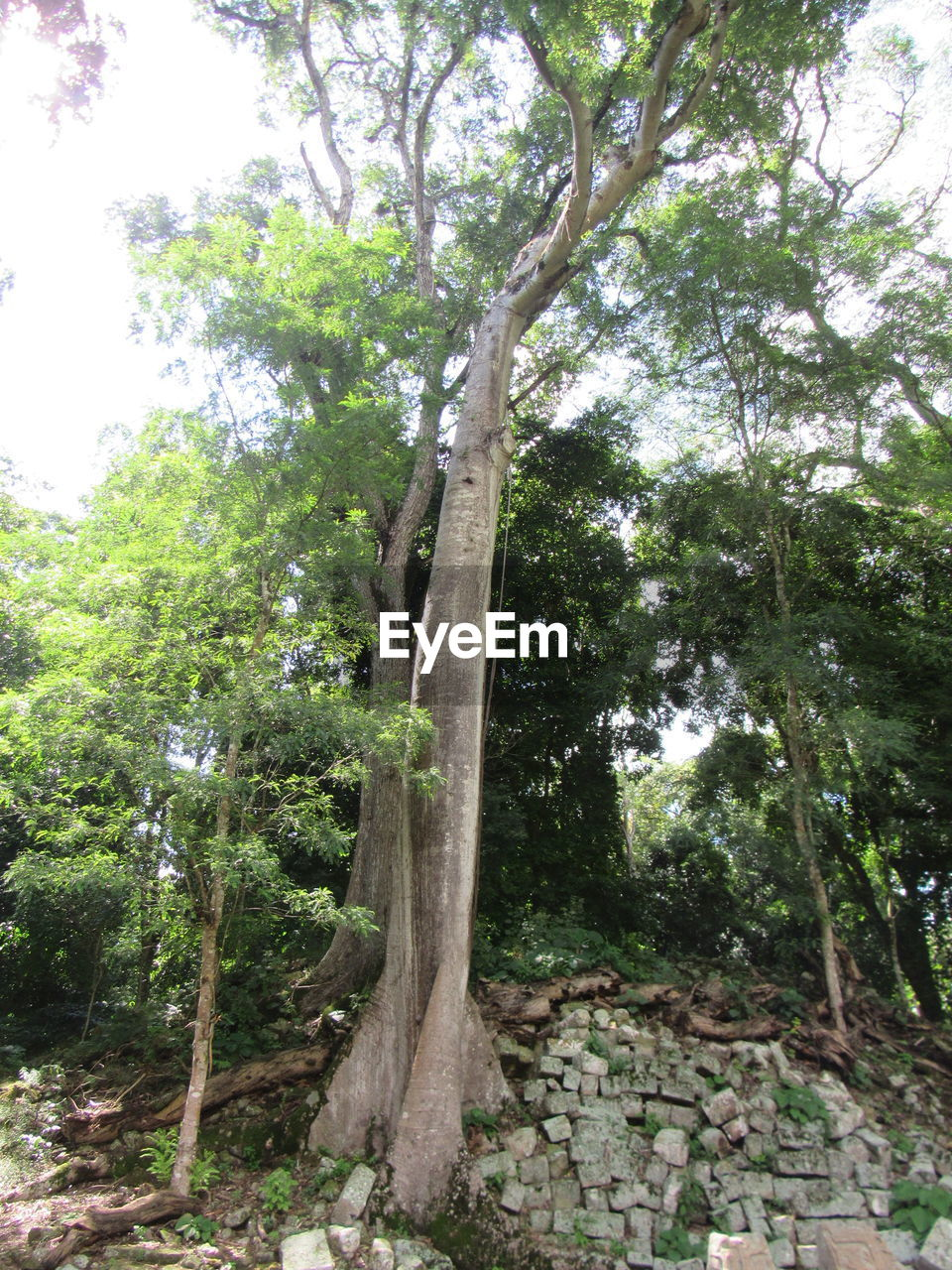 tree, plant, growth, forest, day, tree trunk, trunk, nature, land, no people, outdoors, green color, plant part, tranquility, leaf, environment, branch, beauty in nature, woodland, low angle view, rainforest