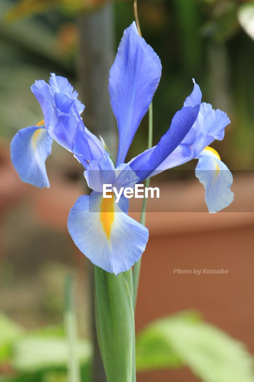 flower, fragility, petal, beauty in nature, nature, growth, flower head, no people, day, plant, freshness, outdoors, close-up, focus on foreground, blooming, iris - plant