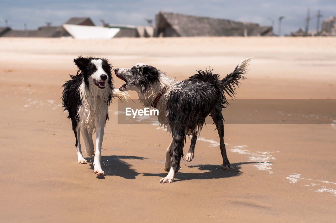 domestic, pets, domestic animals, canine, dog, land, animal, mammal, animal themes, vertebrate, one animal, sand, nature, beach, sunlight, focus on foreground, no people, day