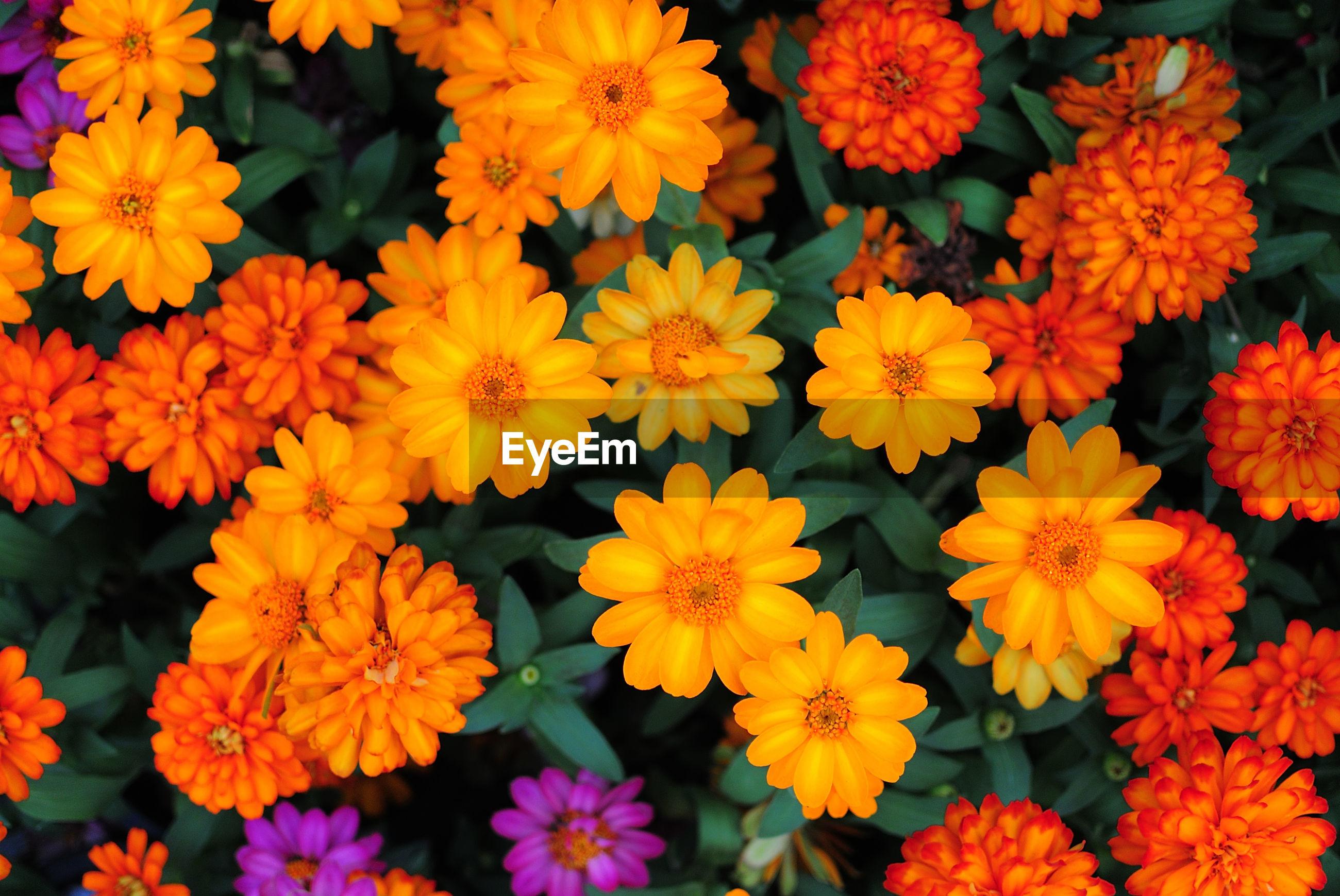 Full frame shot of orange blooming flowers at park