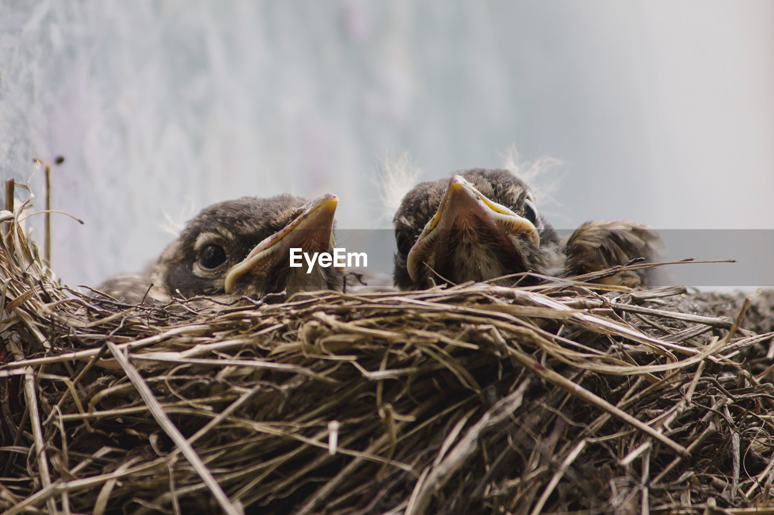 Close-up of young birds in nest