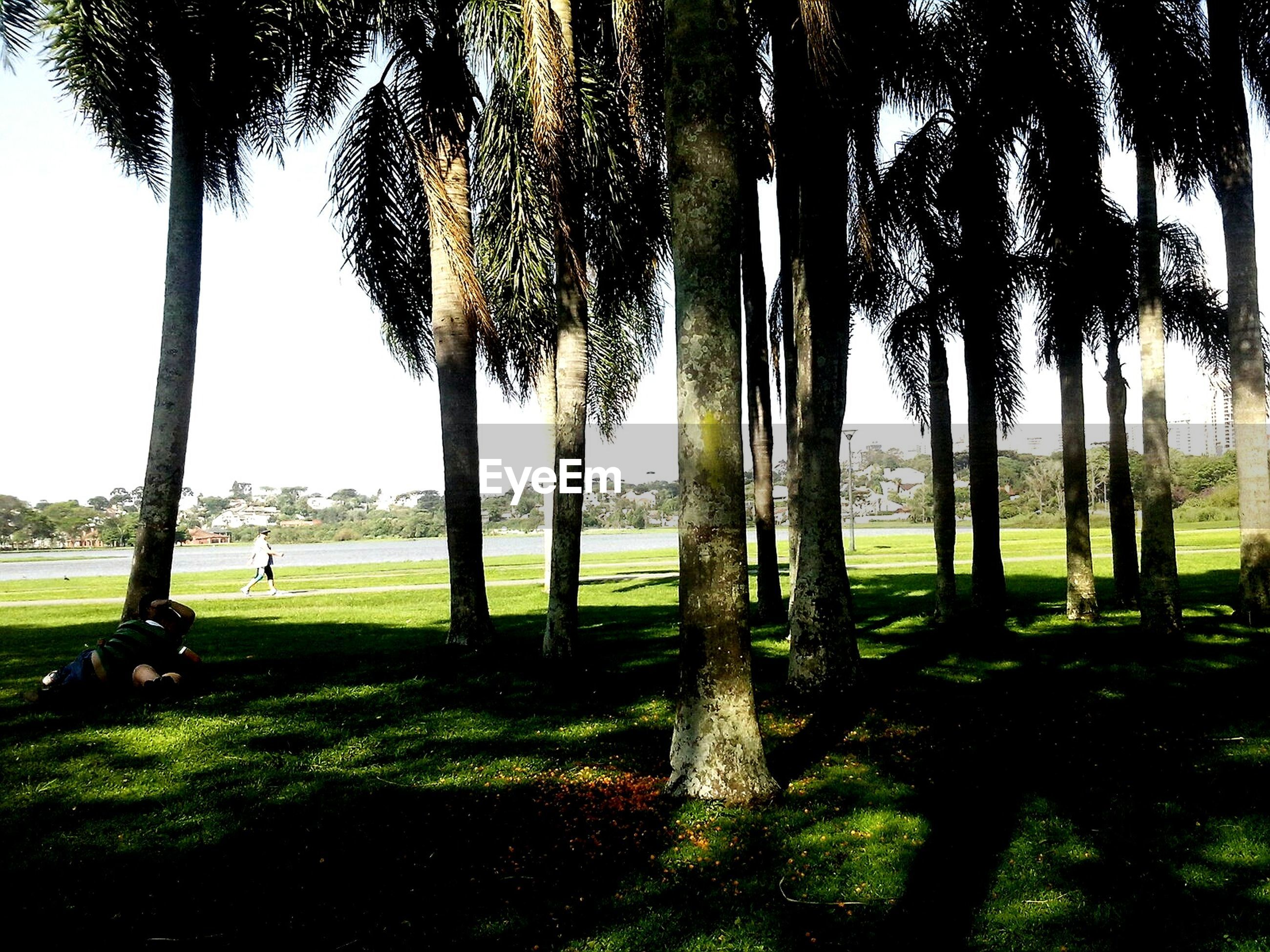 tree, tree trunk, palm tree, grass, growth, tranquility, park - man made space, nature, green color, beauty in nature, tranquil scene, sunlight, scenics, field, sky, shadow, day, outdoors, branch, tall - high