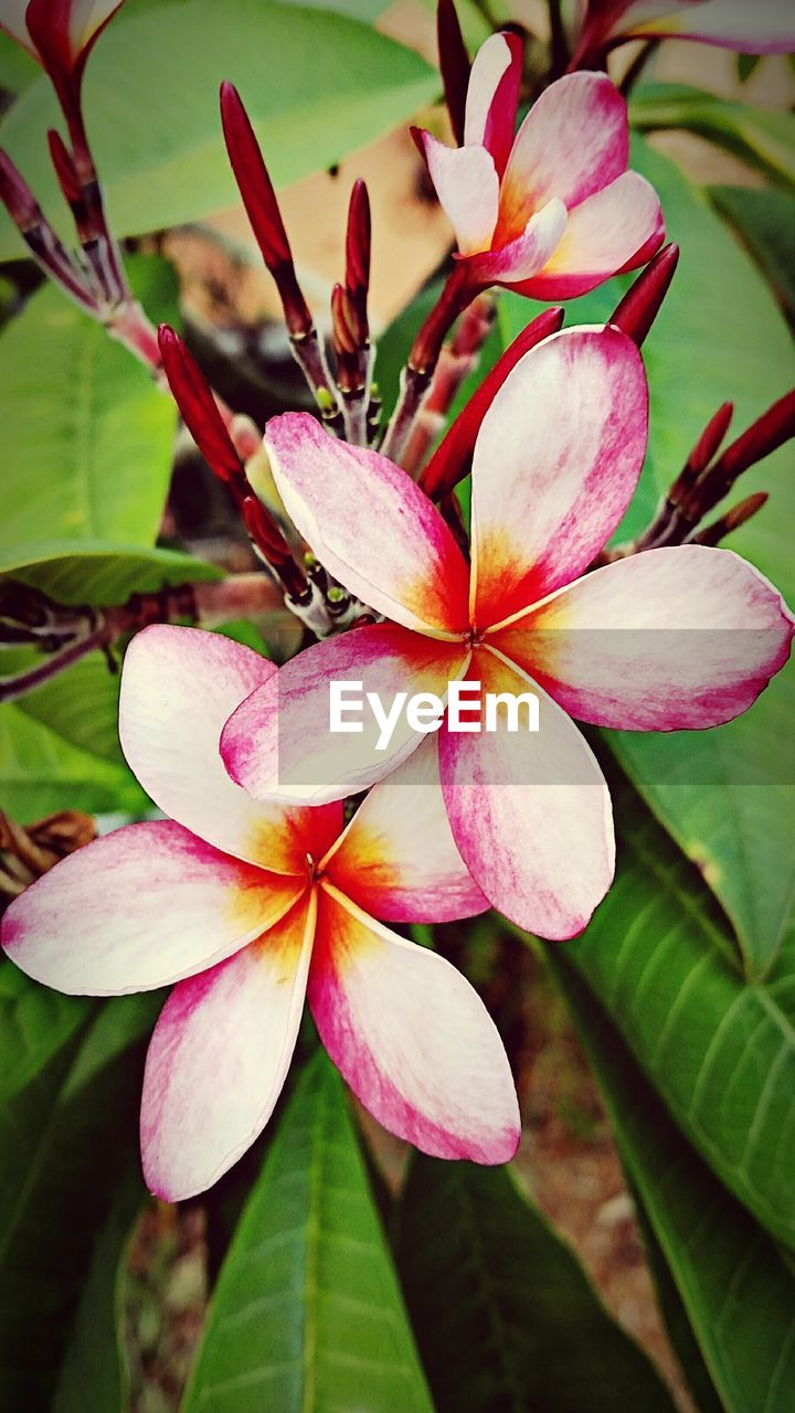petal, flower, growth, fragility, beauty in nature, flower head, pink color, freshness, close-up, nature, leaf, day, no people, plant, outdoors, blooming, periwinkle