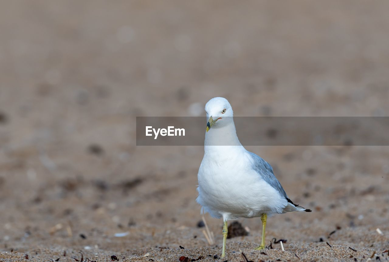 bird, animal themes, animal, one animal, animals in the wild, vertebrate, animal wildlife, land, seagull, no people, white color, focus on foreground, day, nature, close-up, perching, sand, outdoors, beach, sea bird