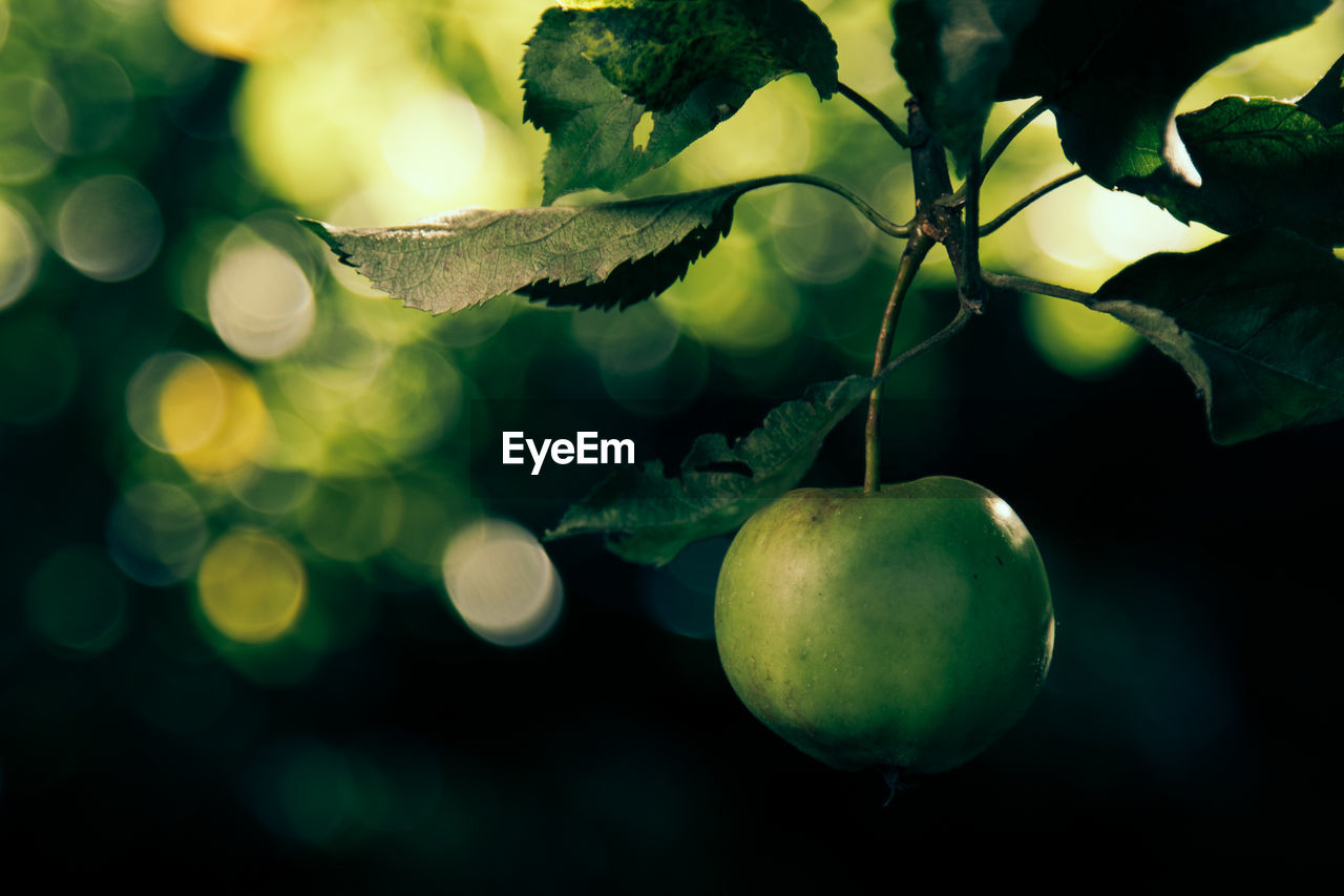 Close-Up Of Granny Smith Apple Growing On Tree