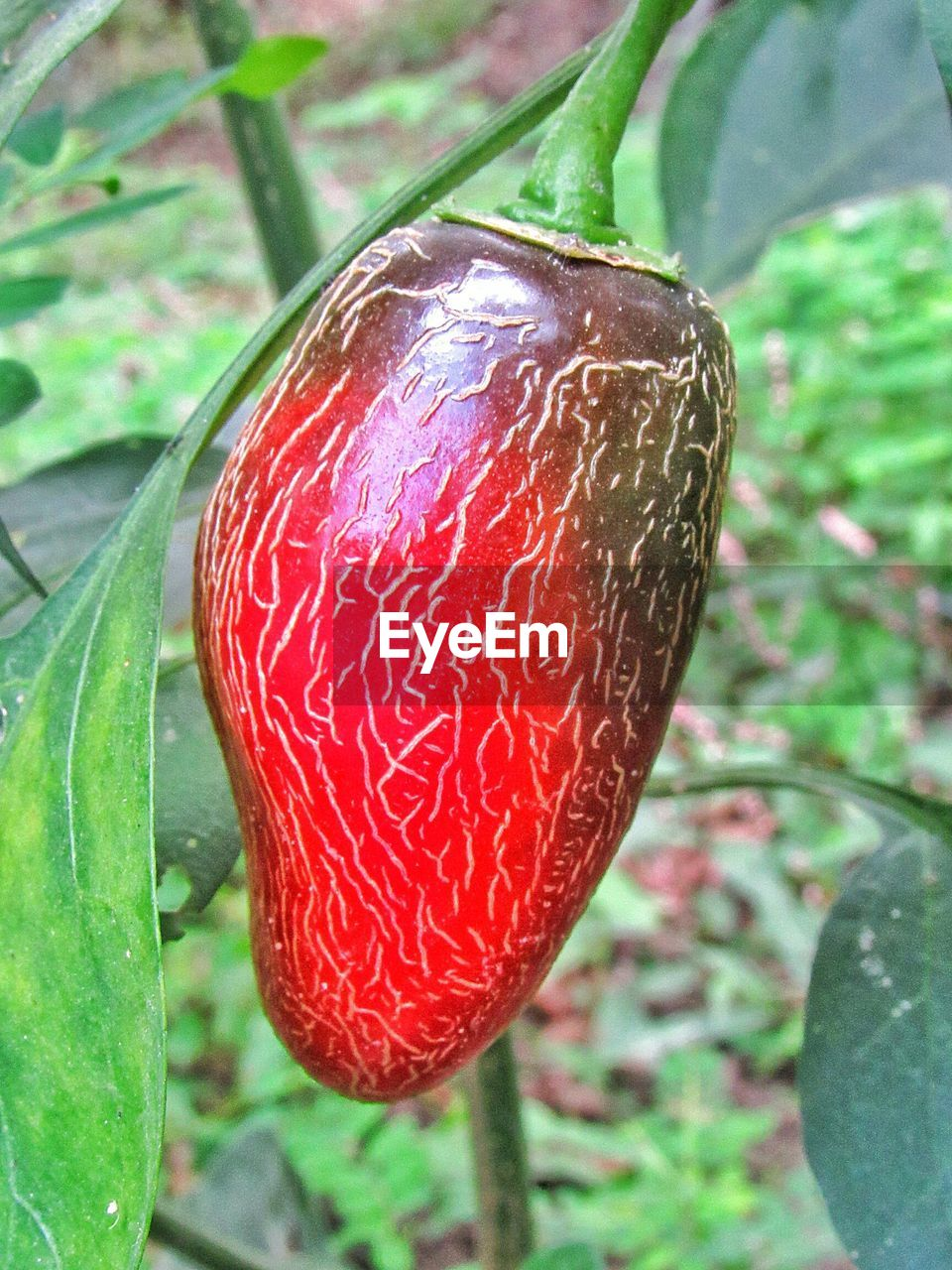 red, growth, close-up, plant, food, food and drink, focus on foreground, fruit, nature, leaf, plant part, no people, day, freshness, healthy eating, outdoors, beauty in nature, ripe, wellbeing, green color, dew, raindrop