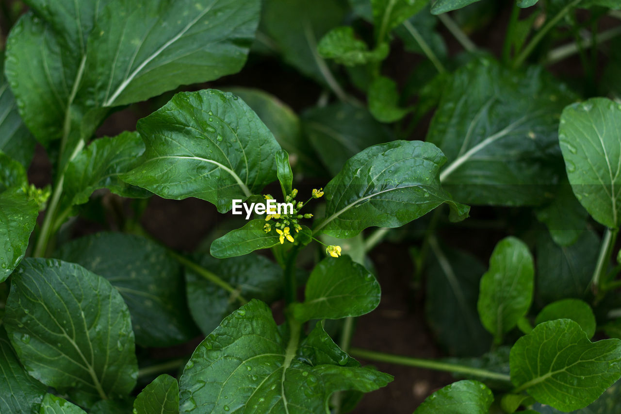 leaf, plant part, green color, growth, plant, beauty in nature, nature, close-up, no people, freshness, day, food and drink, food, outdoors, full frame, selective focus, focus on foreground, leaf vein, herb, land, mint leaf - culinary, leaves