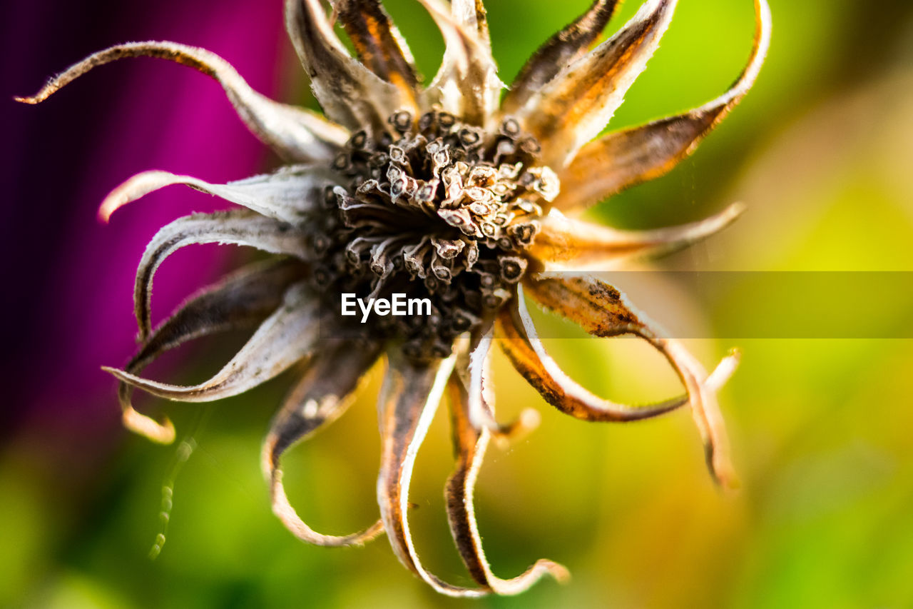 flower, flowering plant, plant, close-up, beauty in nature, fragility, vulnerability, growth, nature, freshness, petal, no people, flower head, focus on foreground, inflorescence, selective focus, outdoors, day, pollen, wilted plant, sepal